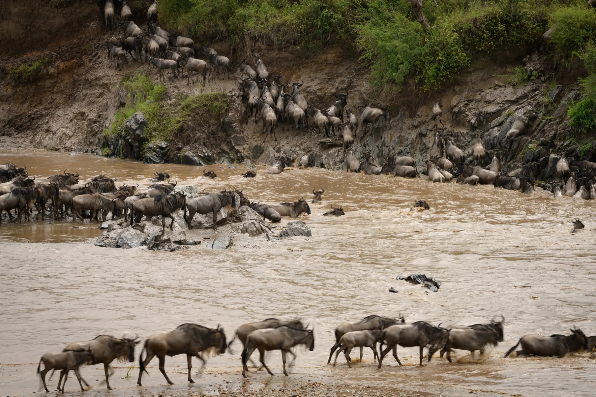 Wildebeest all stages of crossing