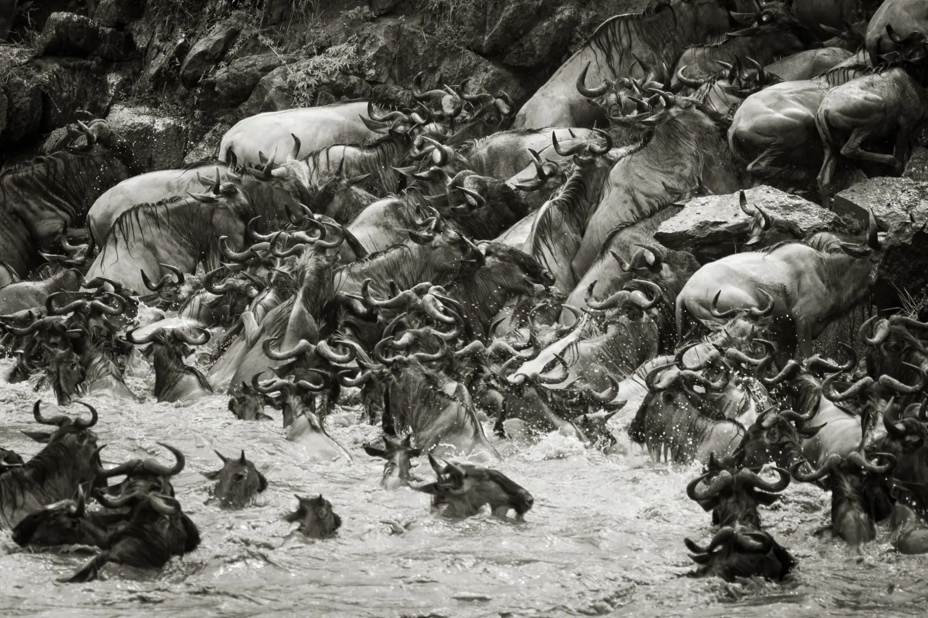 Wildebeest crossing BW