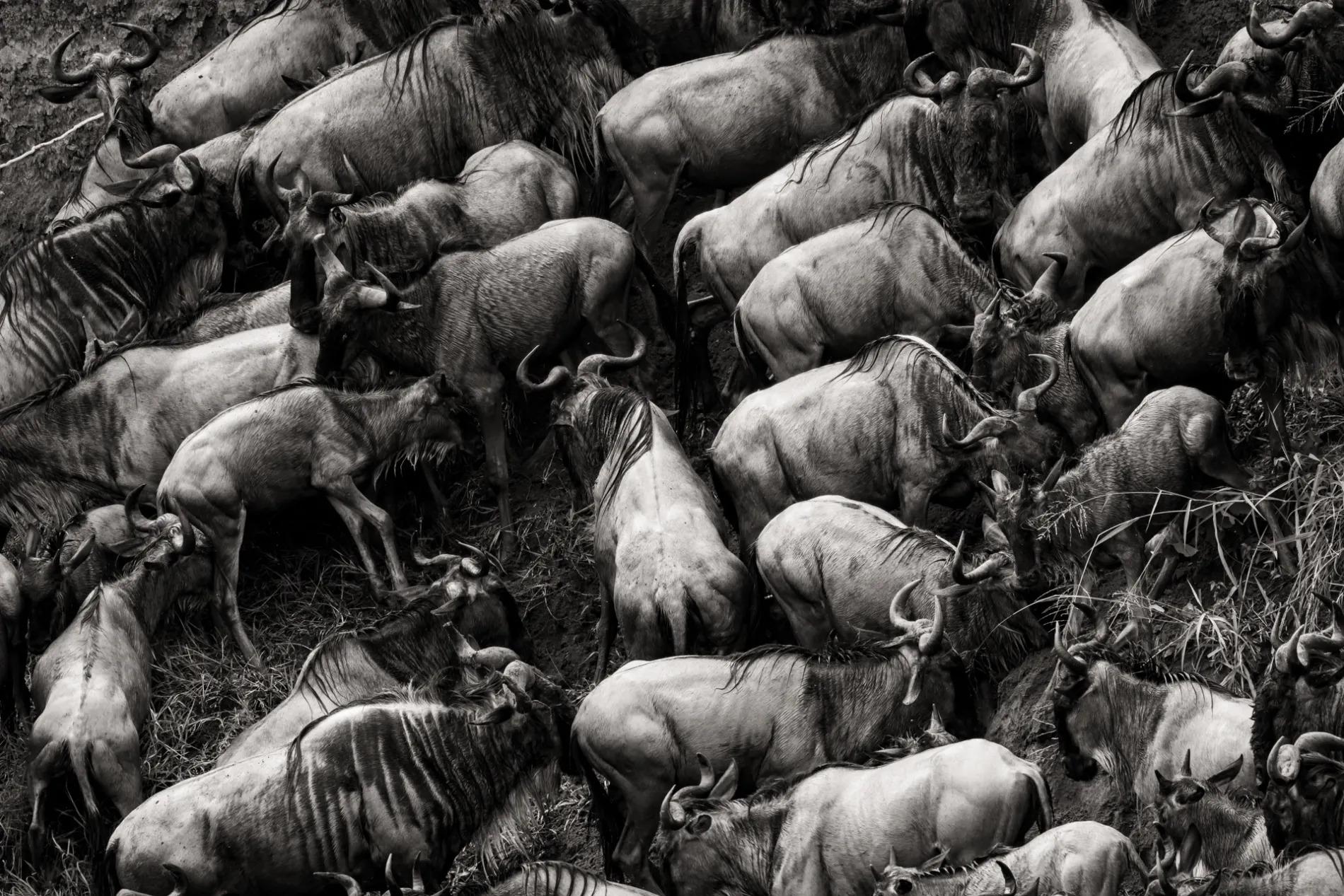 Wildebeest bodies BW