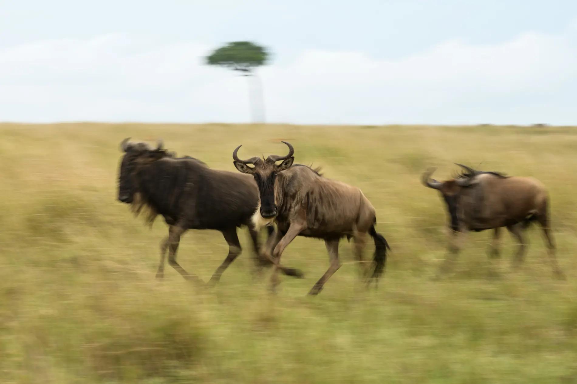 three individual wildebeest running