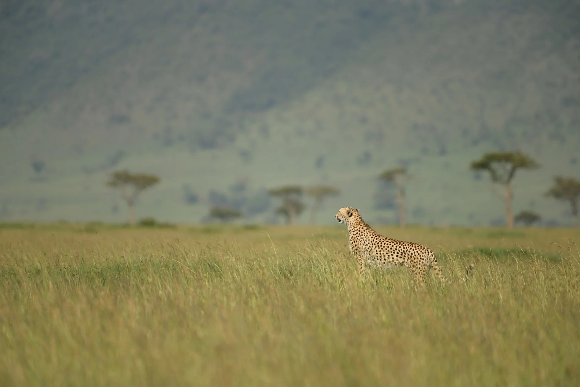 Cheetah Savannah