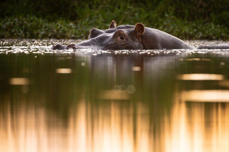 Hippo at eye level