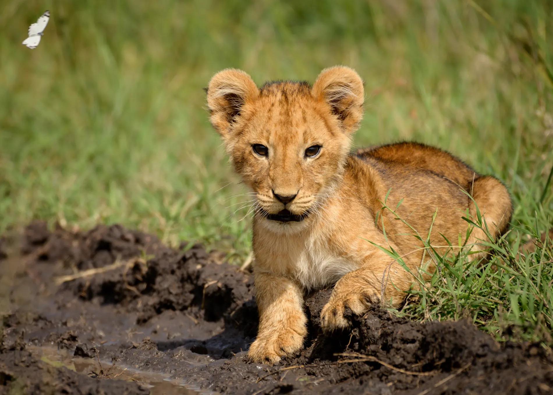 Solo lion cub
