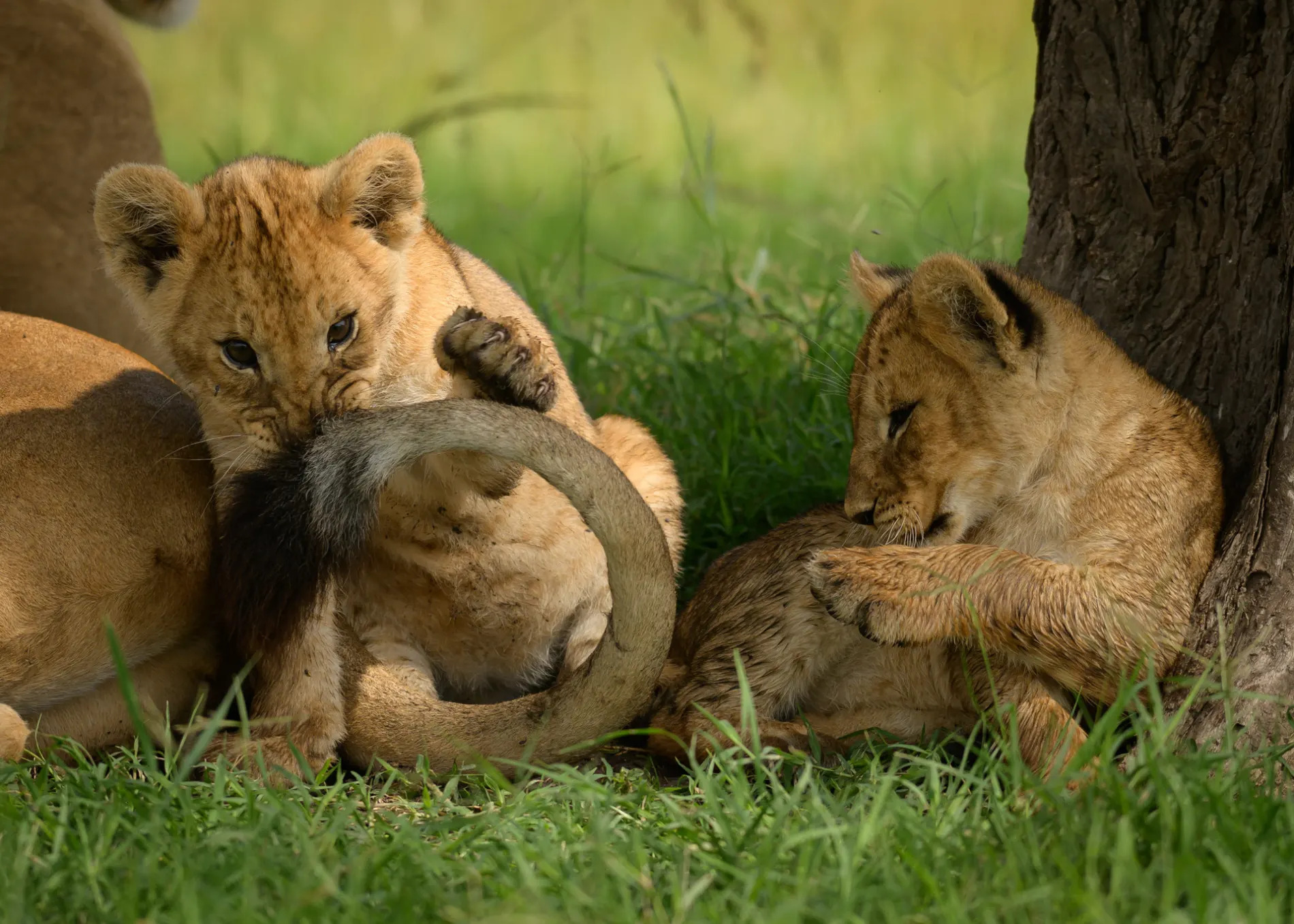 Play time lion cubs
