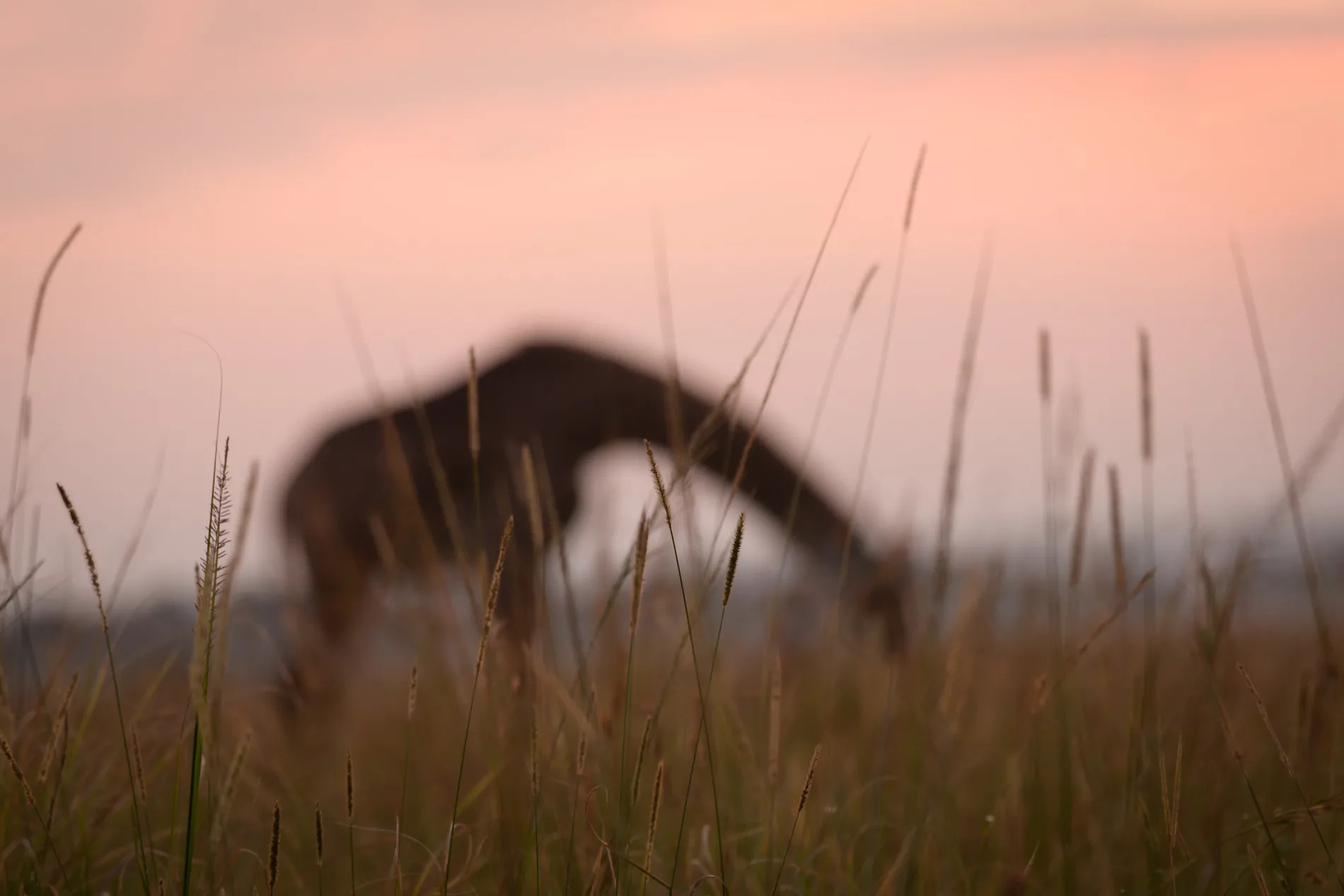blurred giraffe