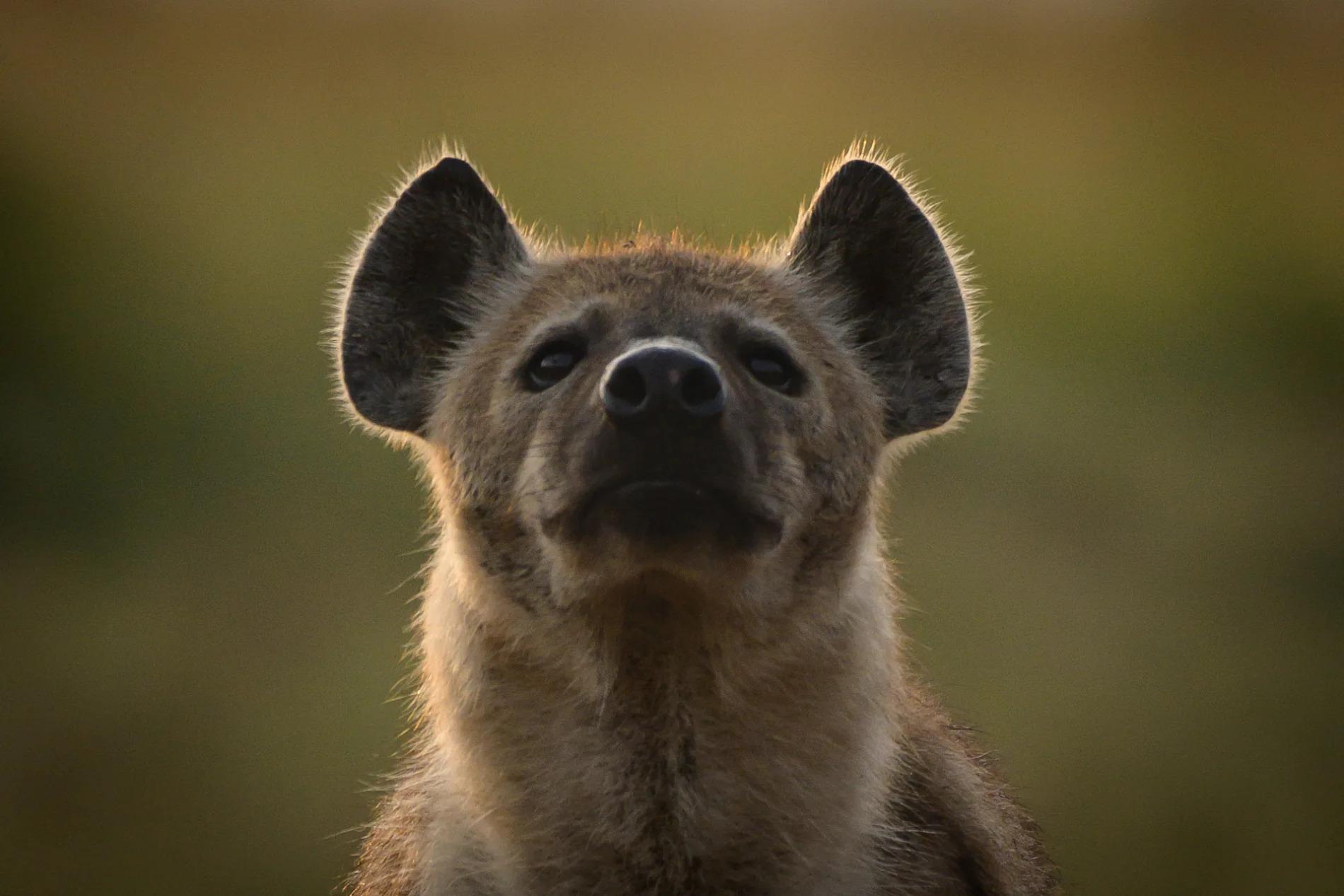 eye level hyena