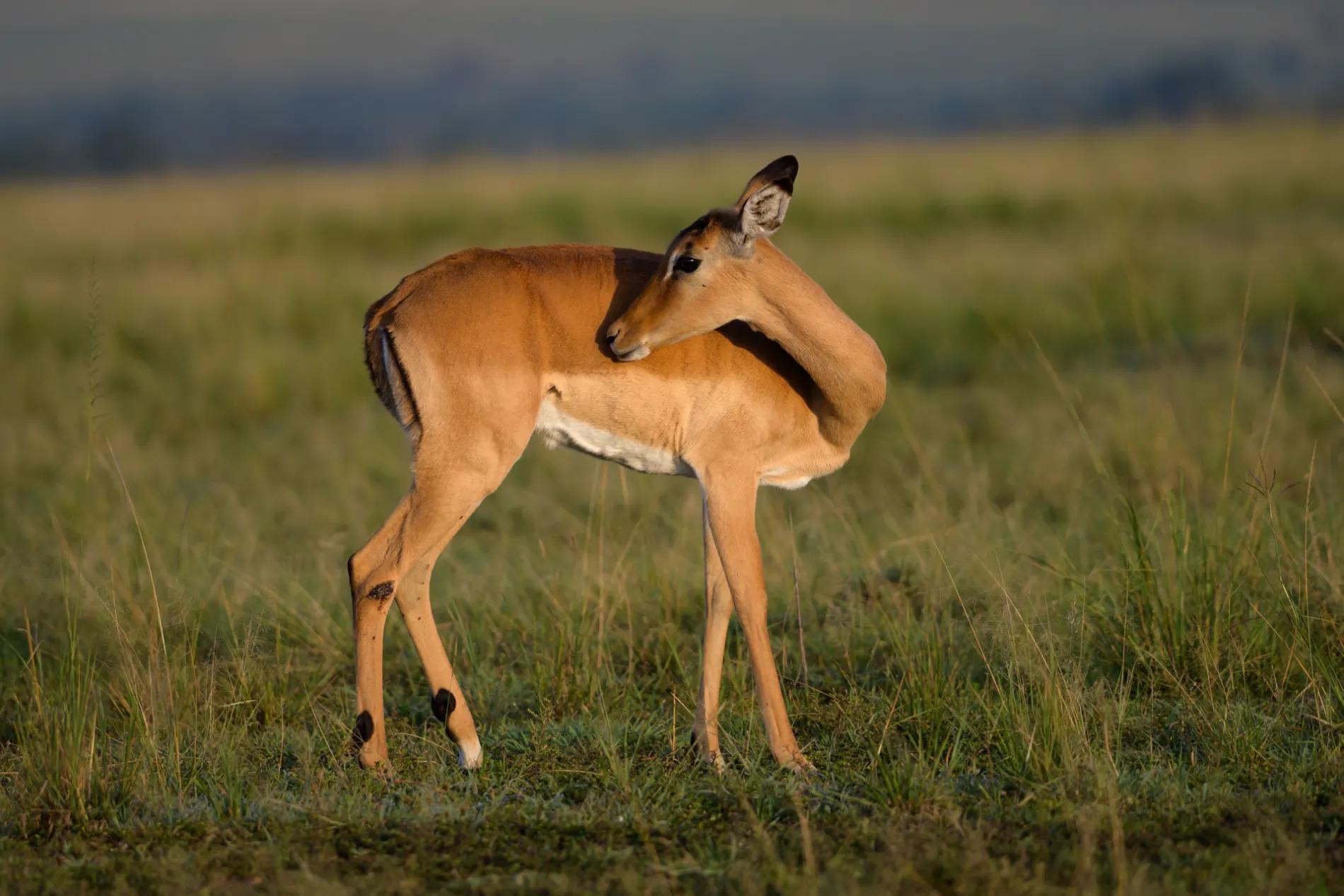 Impala grooming