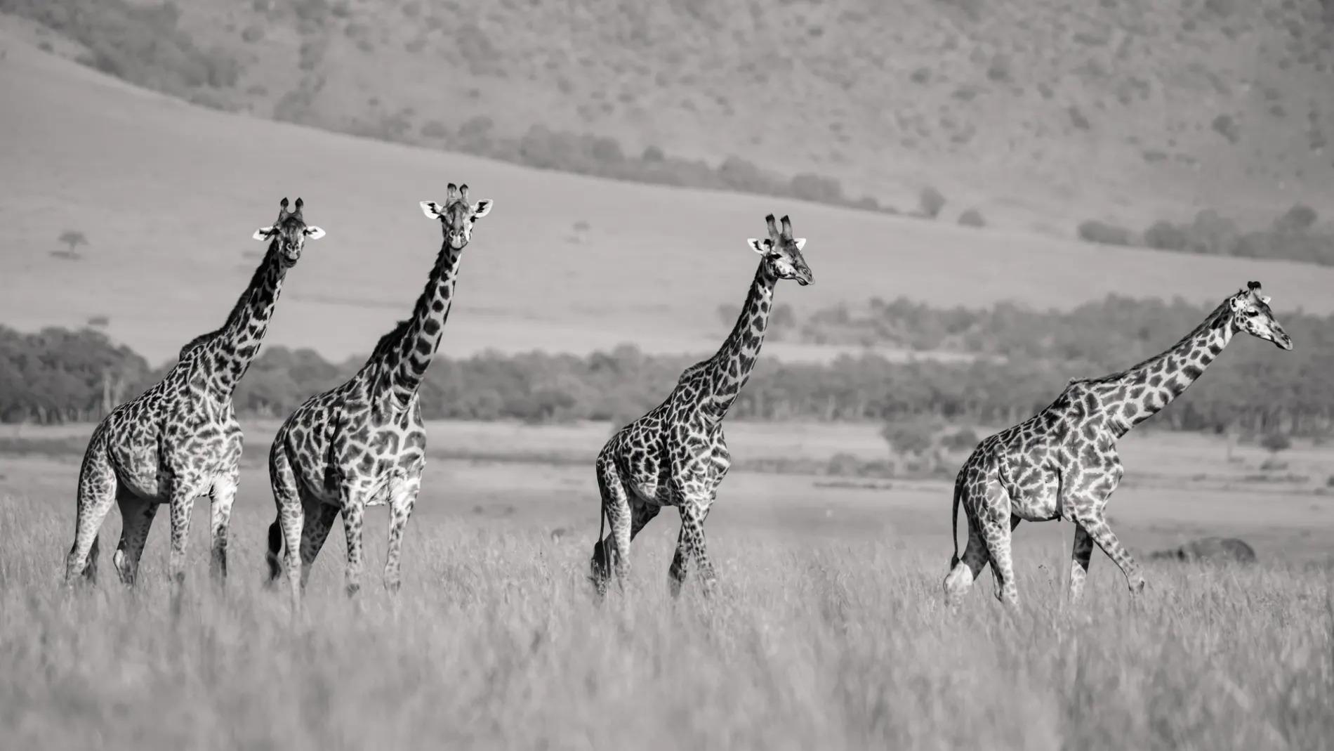 Giraffe BW