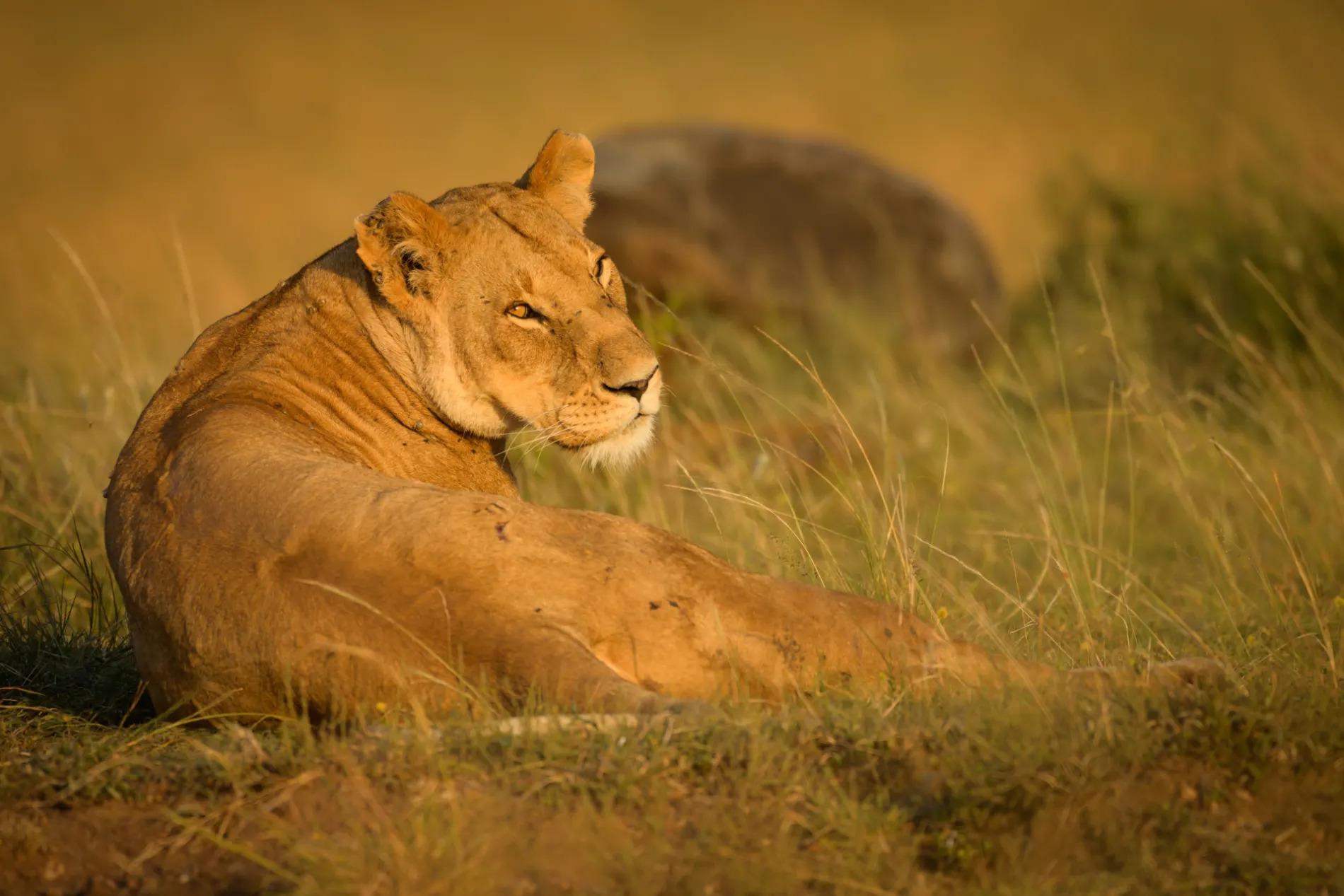 Lioness overshoulder stare