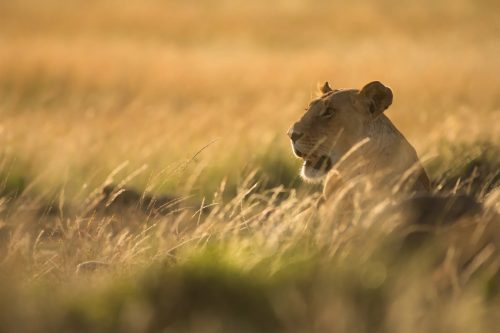 Lioness and the light