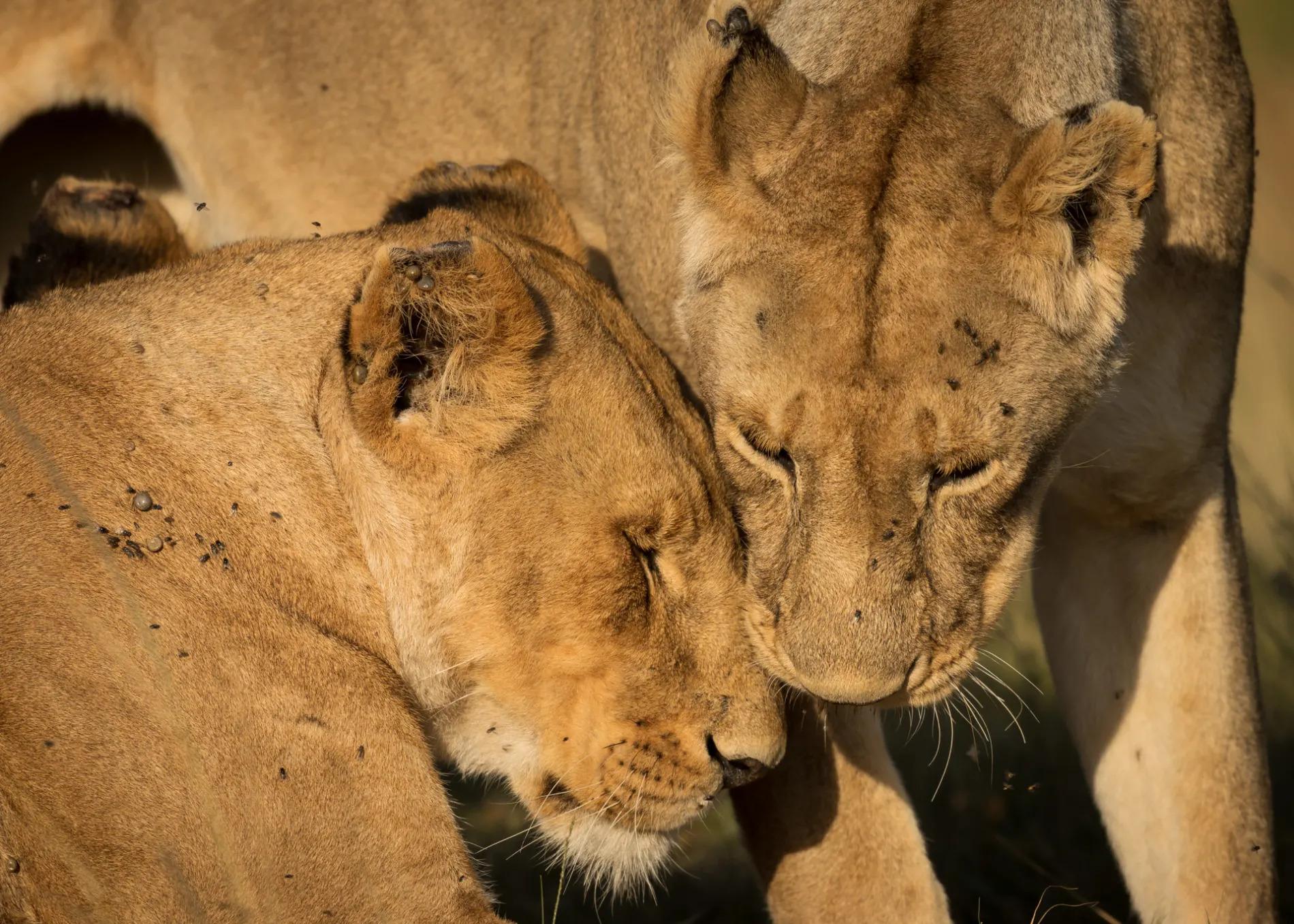 Lions greet