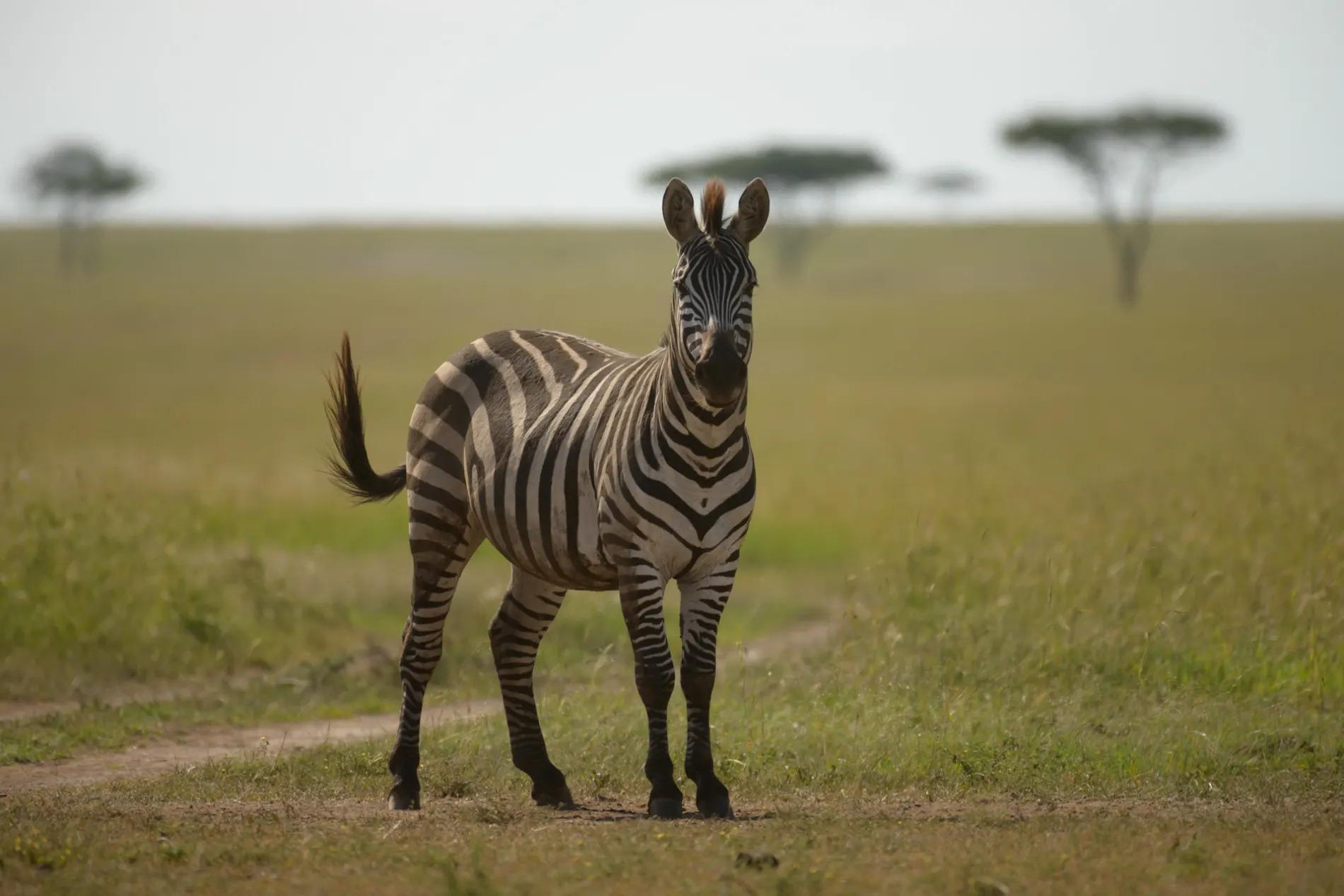 Zebra and Trees