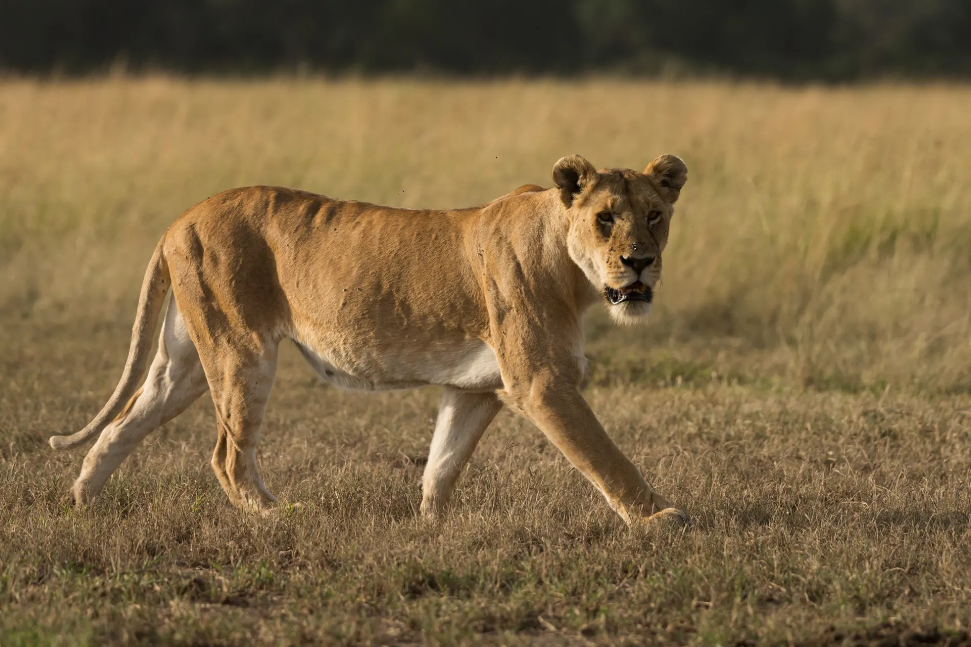 Lioness no turf on tail
