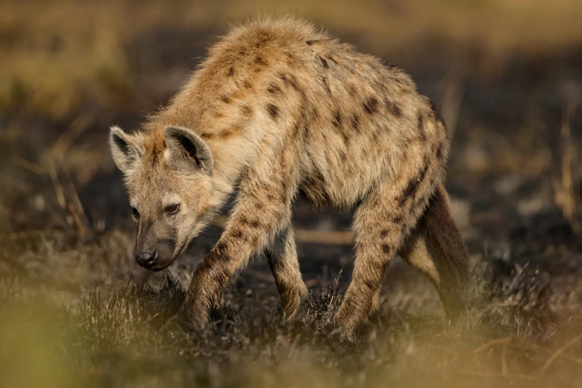 Hyena in burnt area