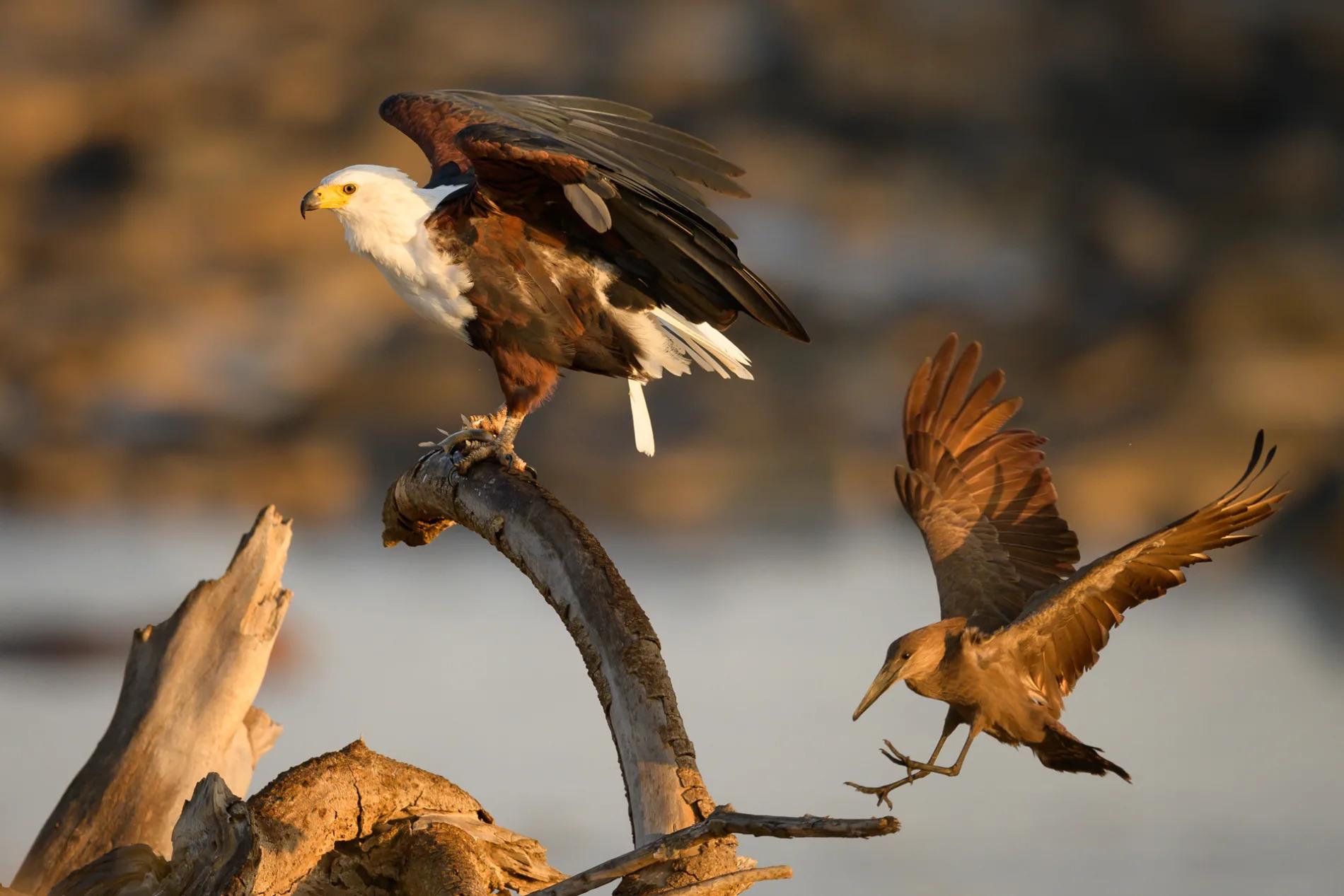 fish eagle and hamerkop