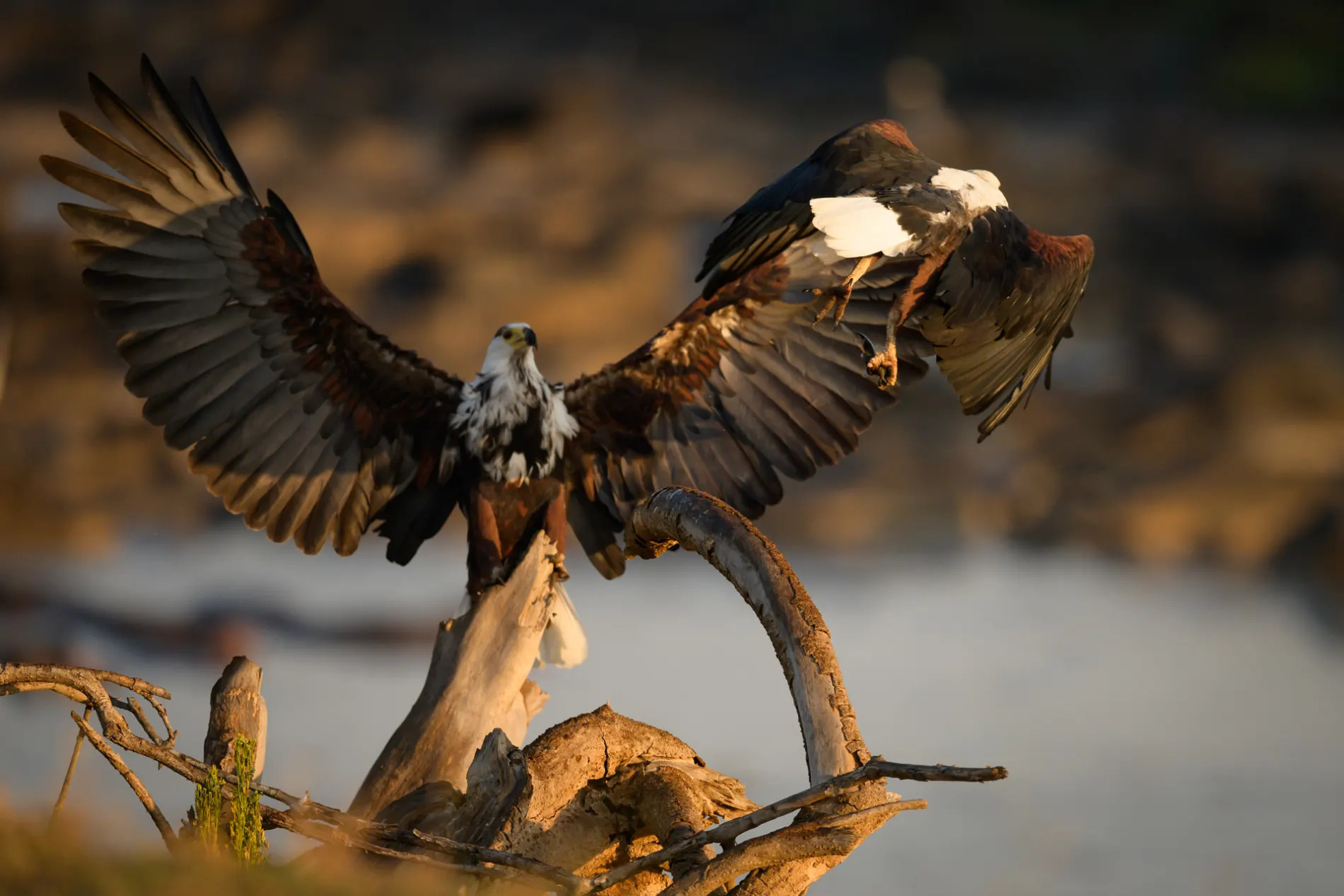 fish eagle and baby