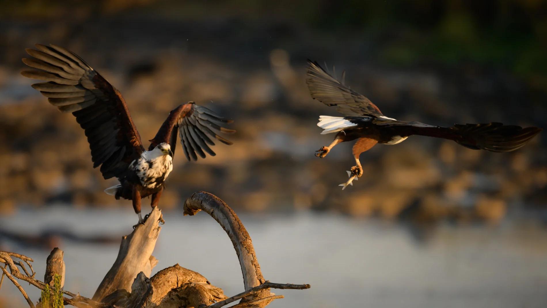 fish eagle flying off