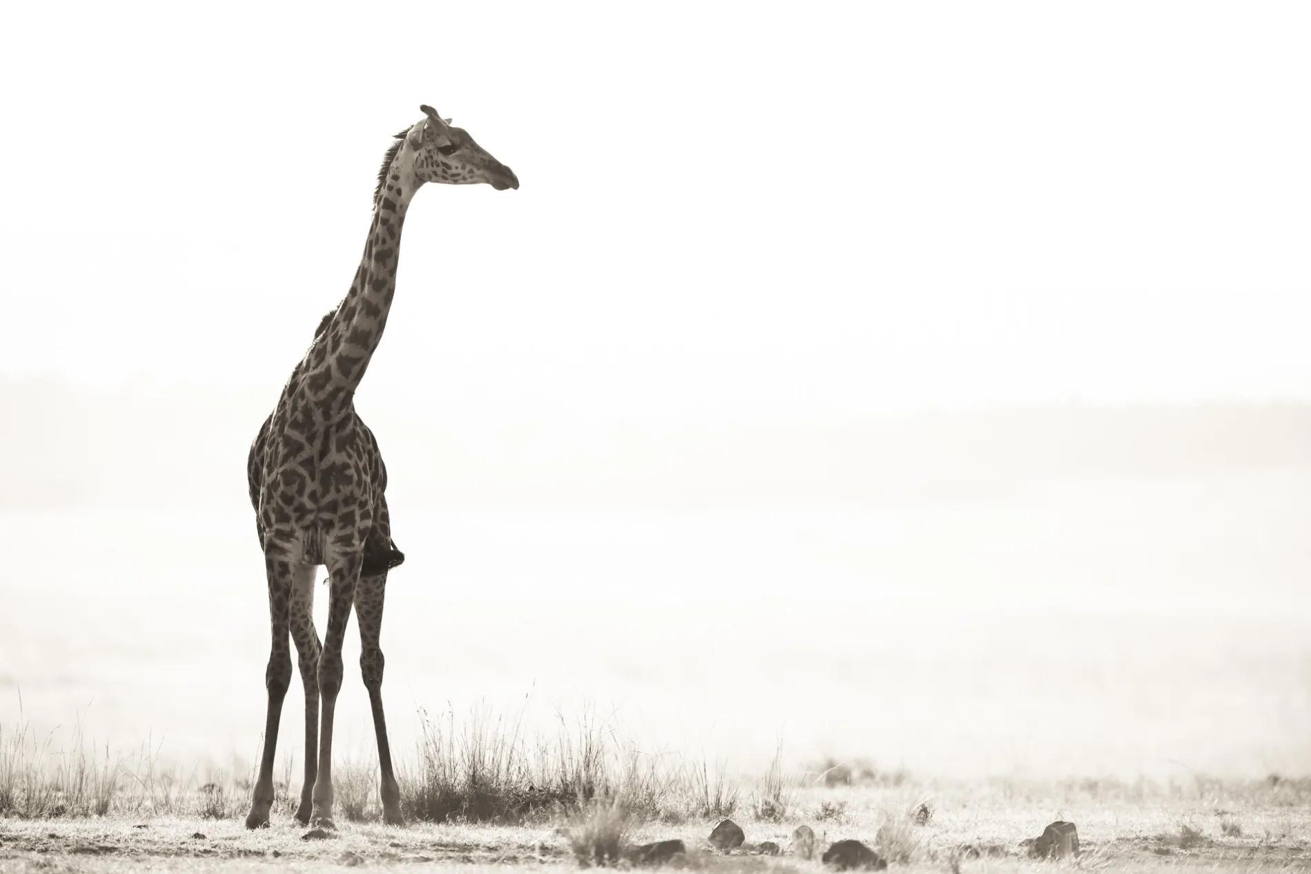Giraffe gaze into distance