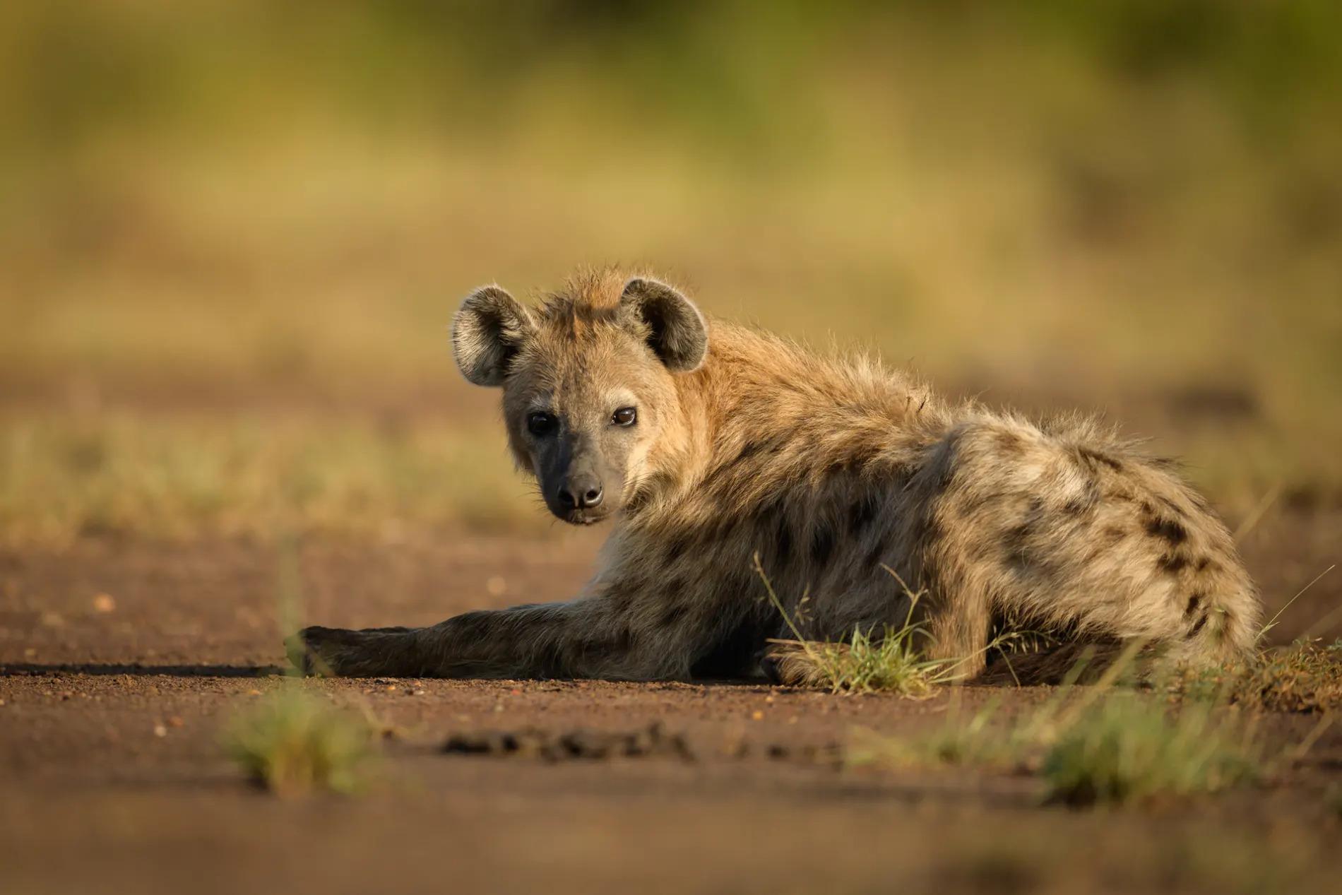hyena sitting