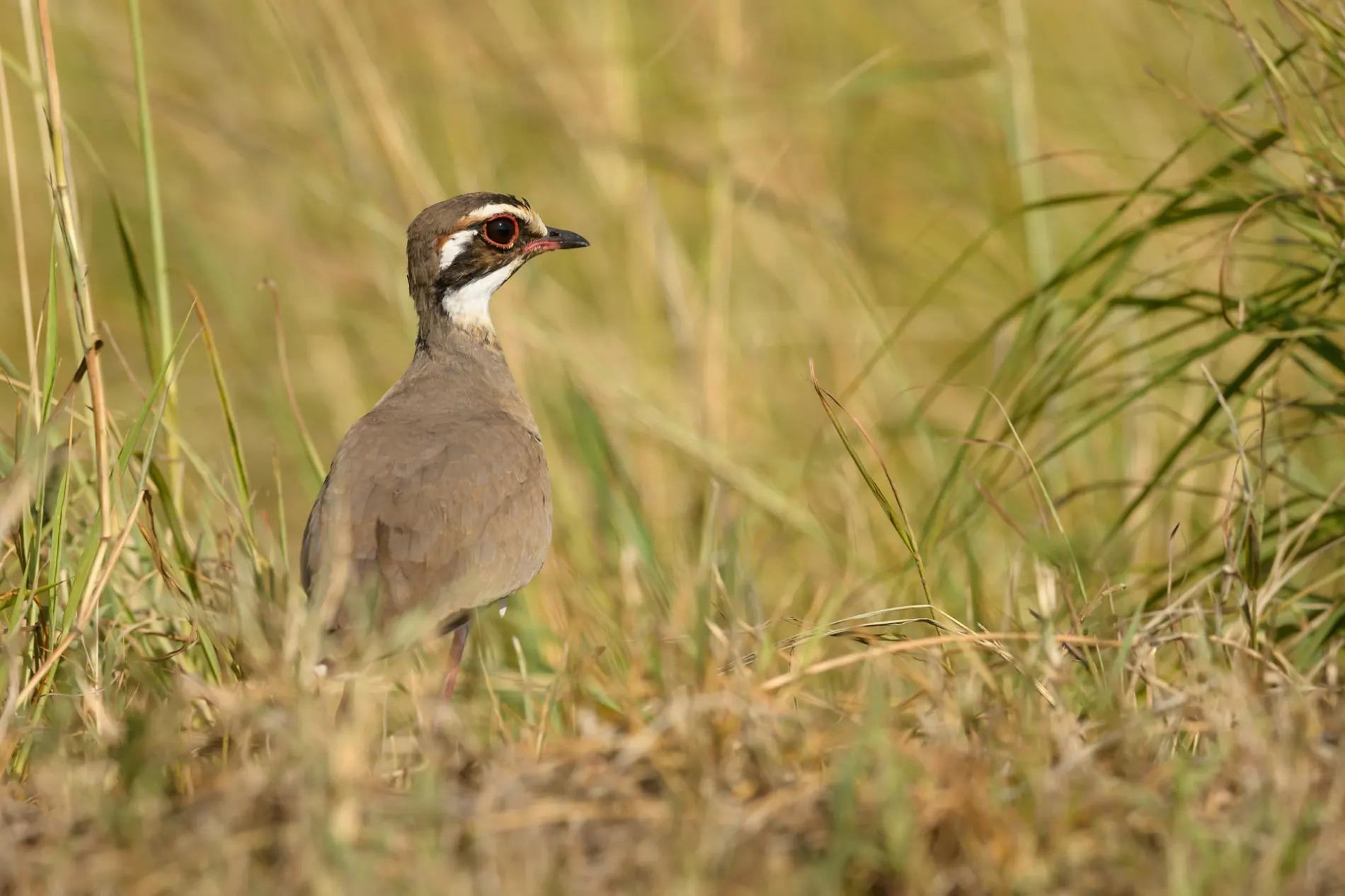 courser bird