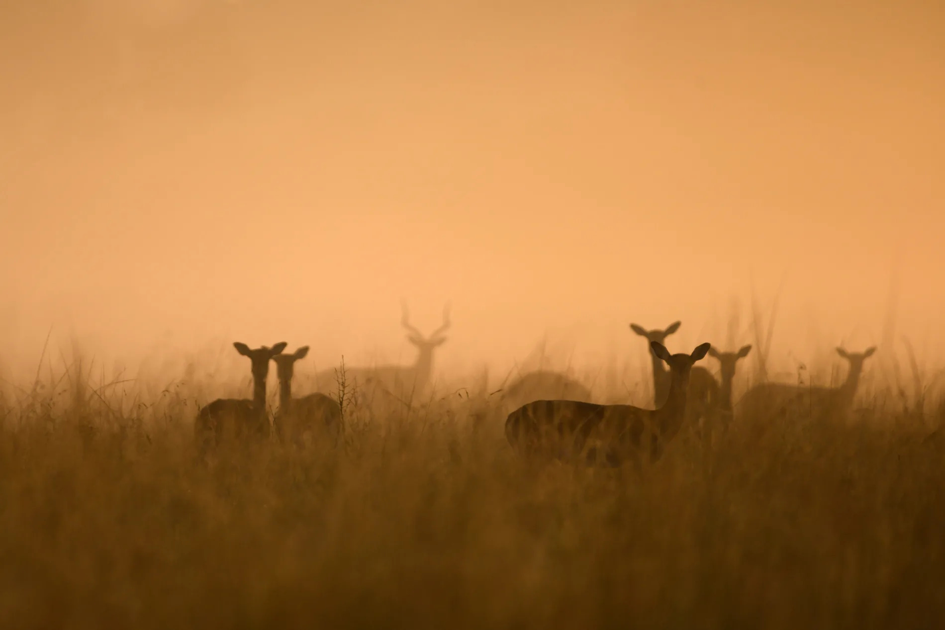 impala in mist