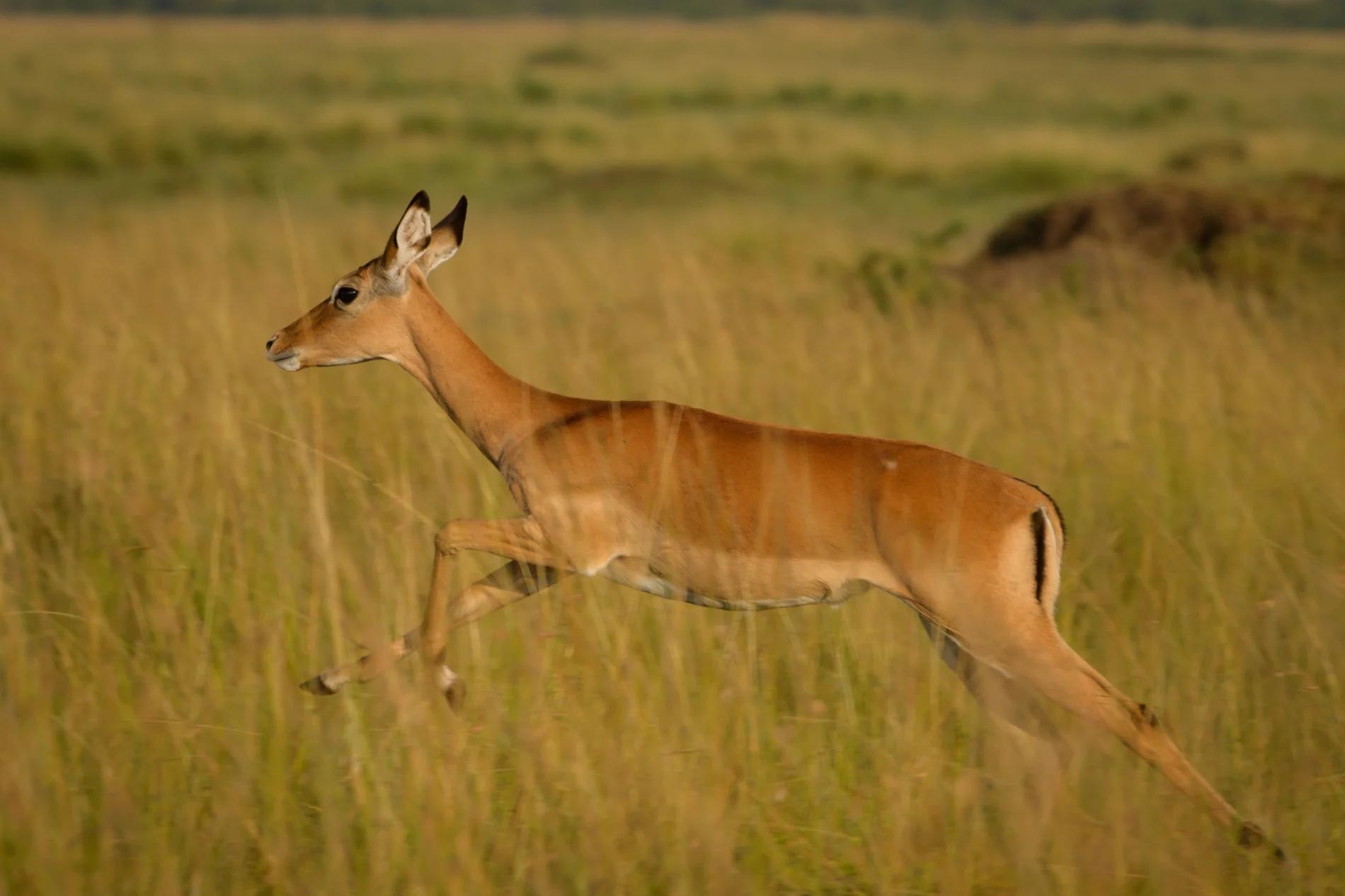 impala jump