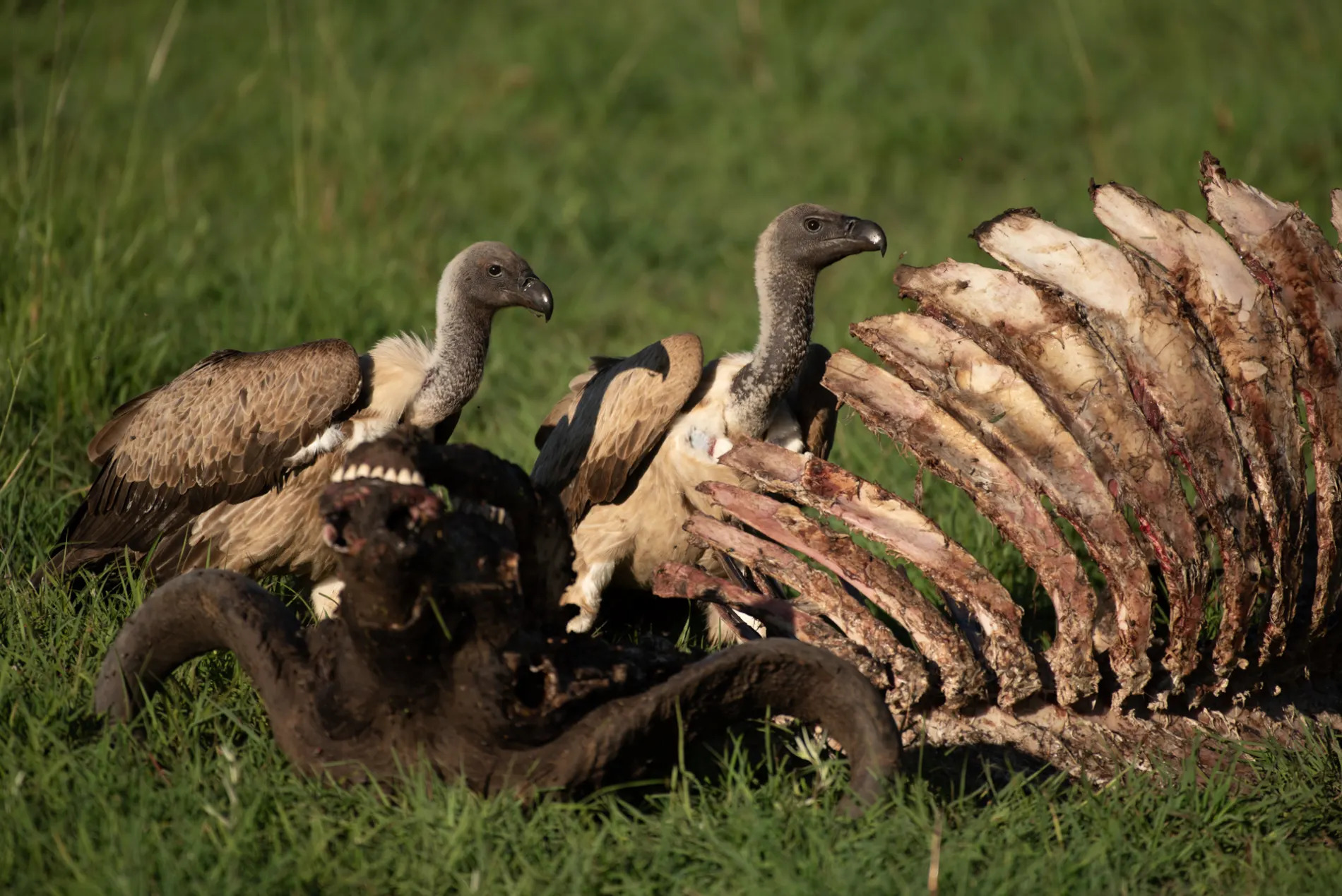 Buffalo and vultures