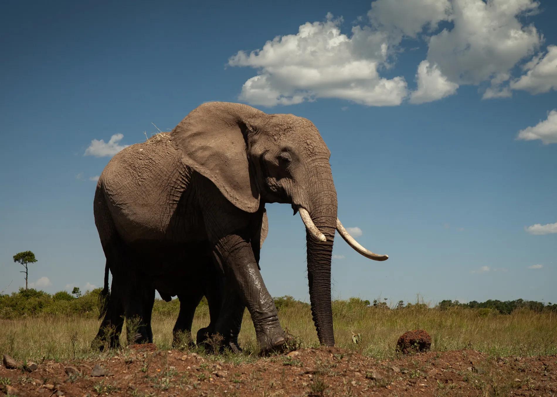 Elephant low angle