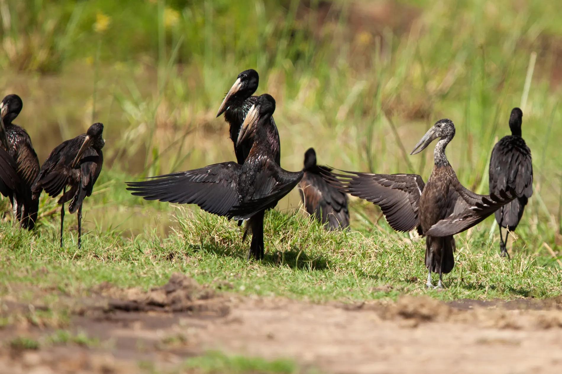 Open Billed Storks
