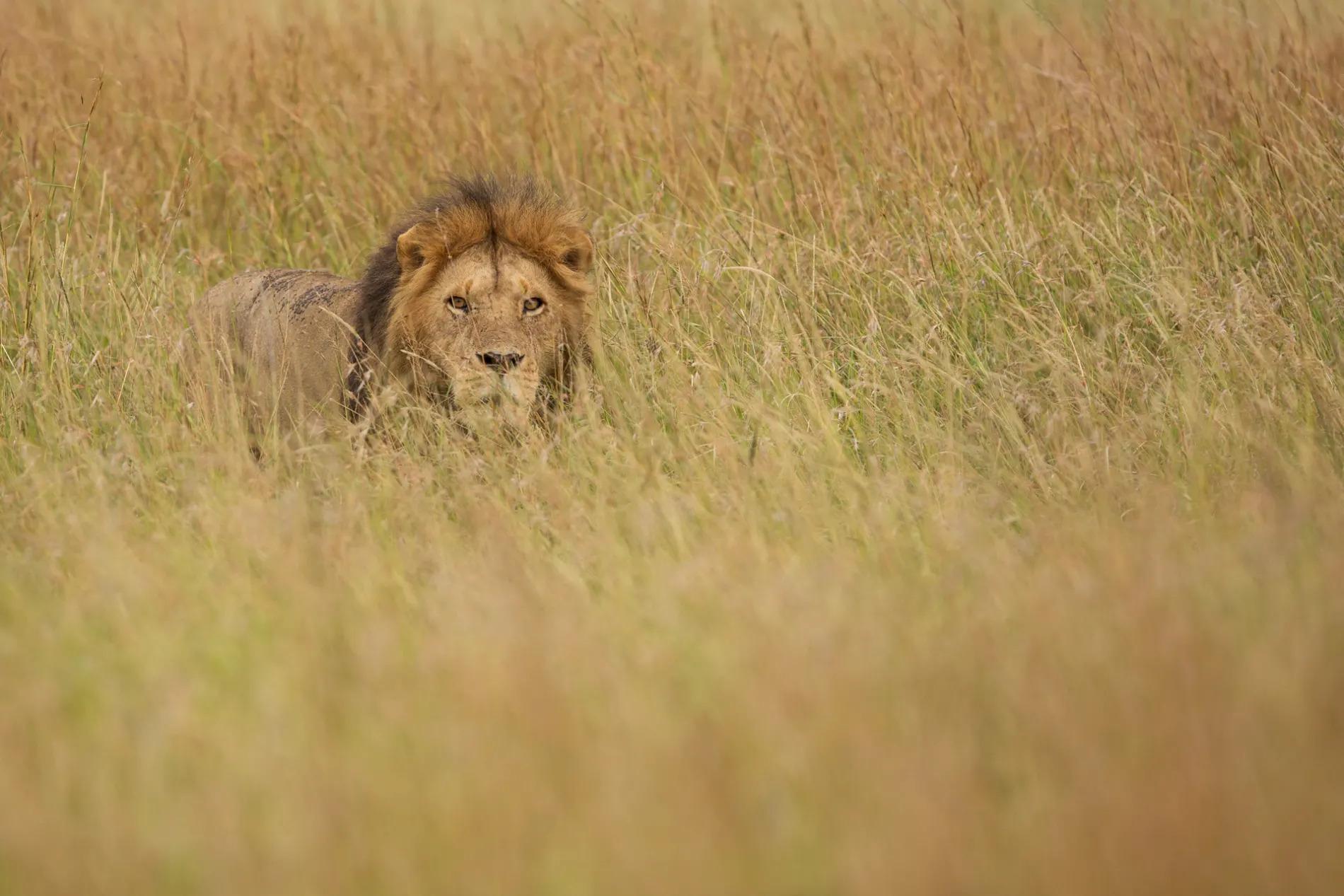 Male Lion in long grass