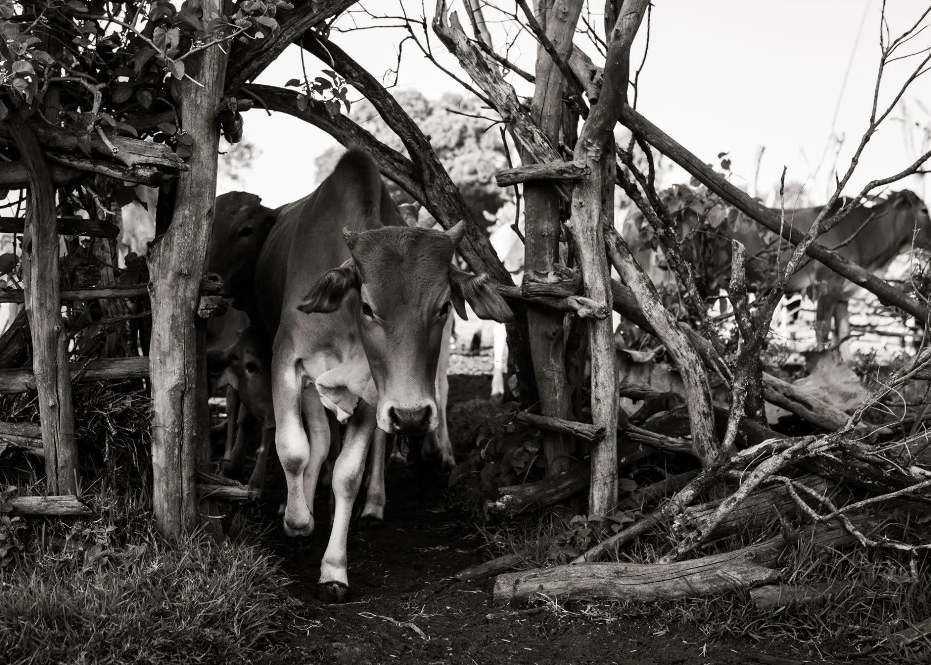 Cows black and white