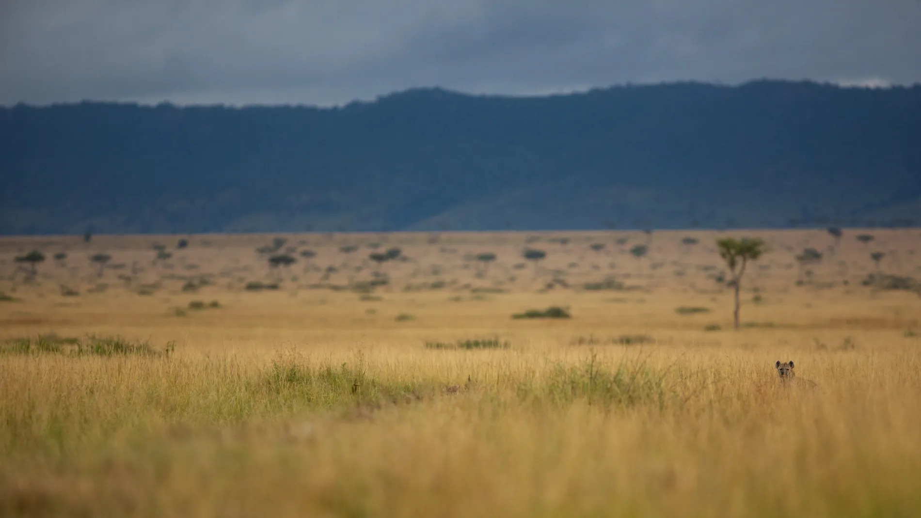 Hyena in the distance