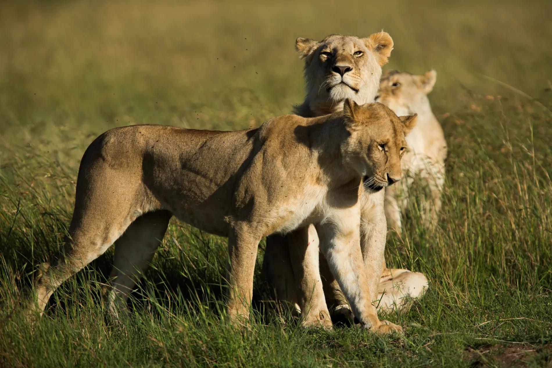 lions together