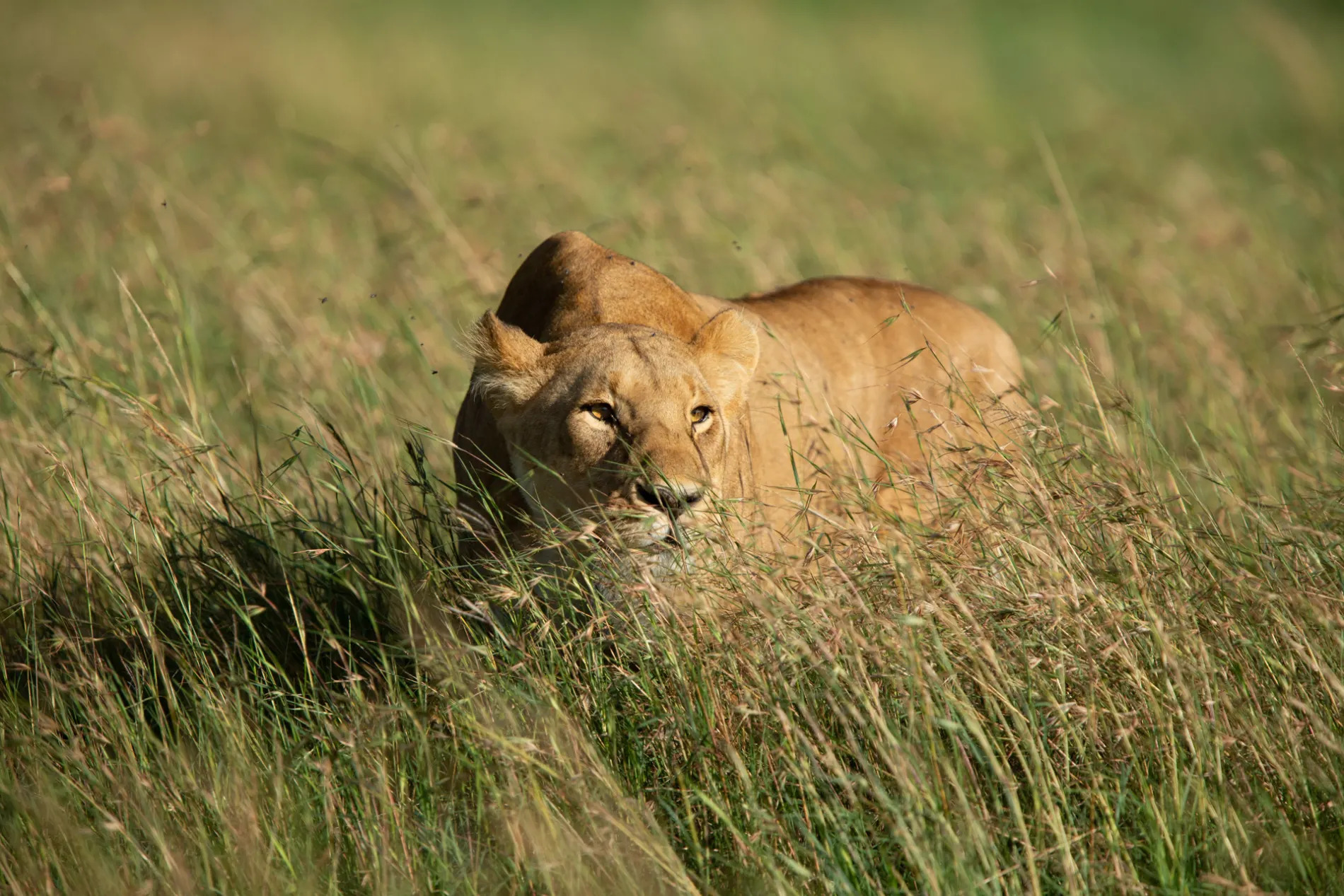 Lion in long grass 2