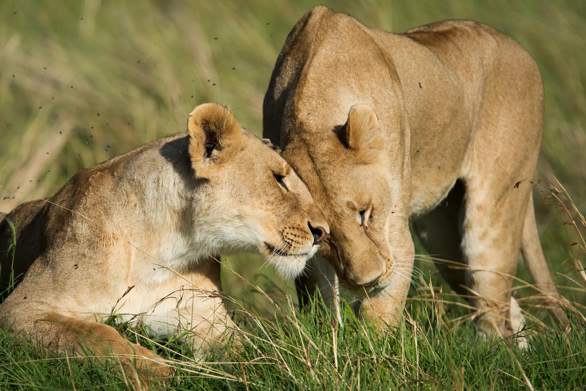 lion nestling heads