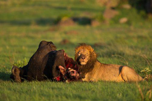 Male lion on buffalo