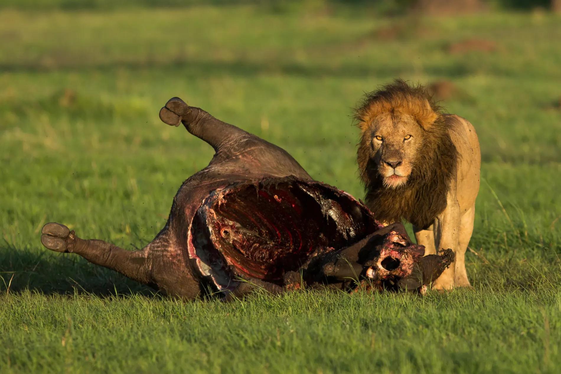 Male lion carcass