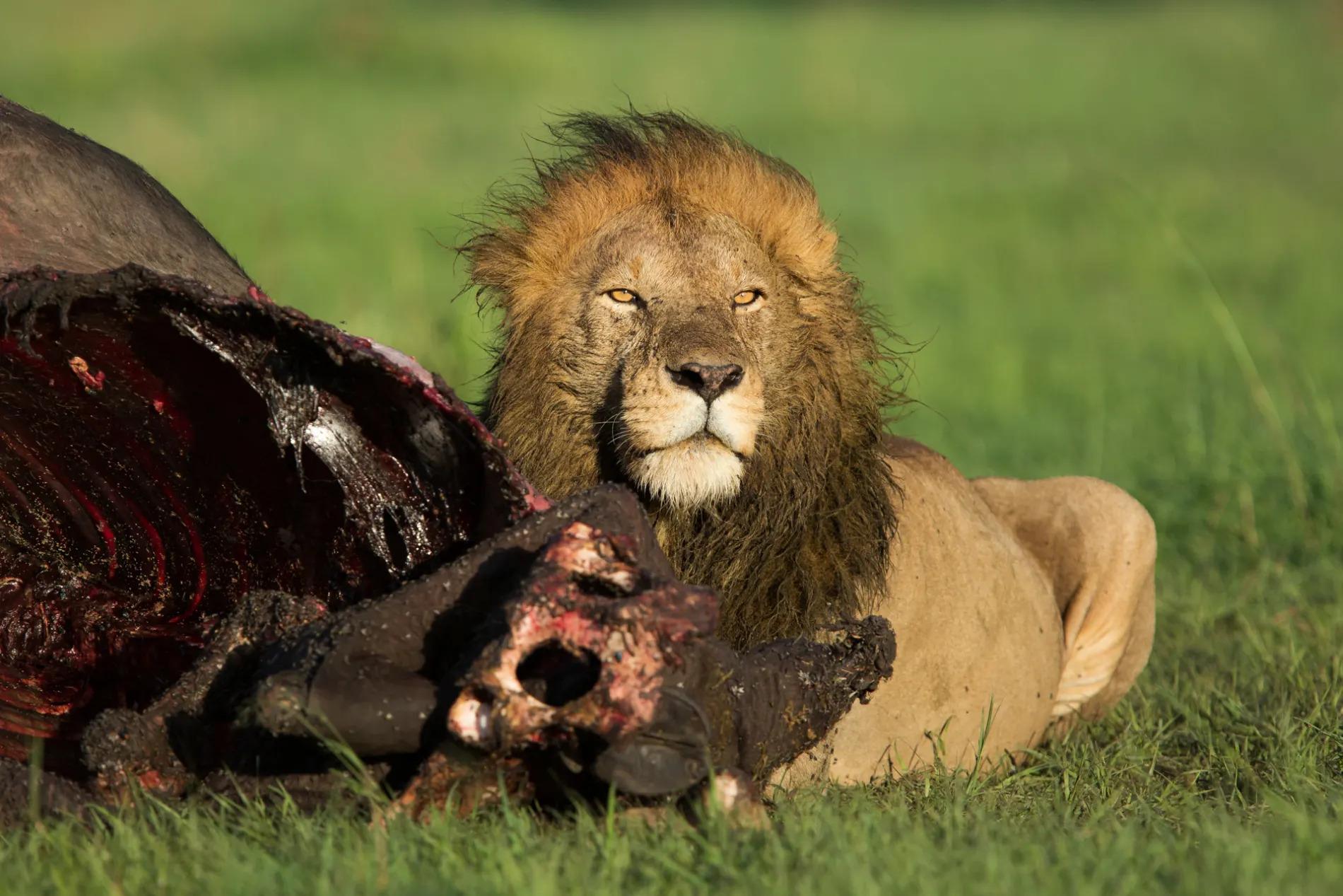 Male Lion Above Kill