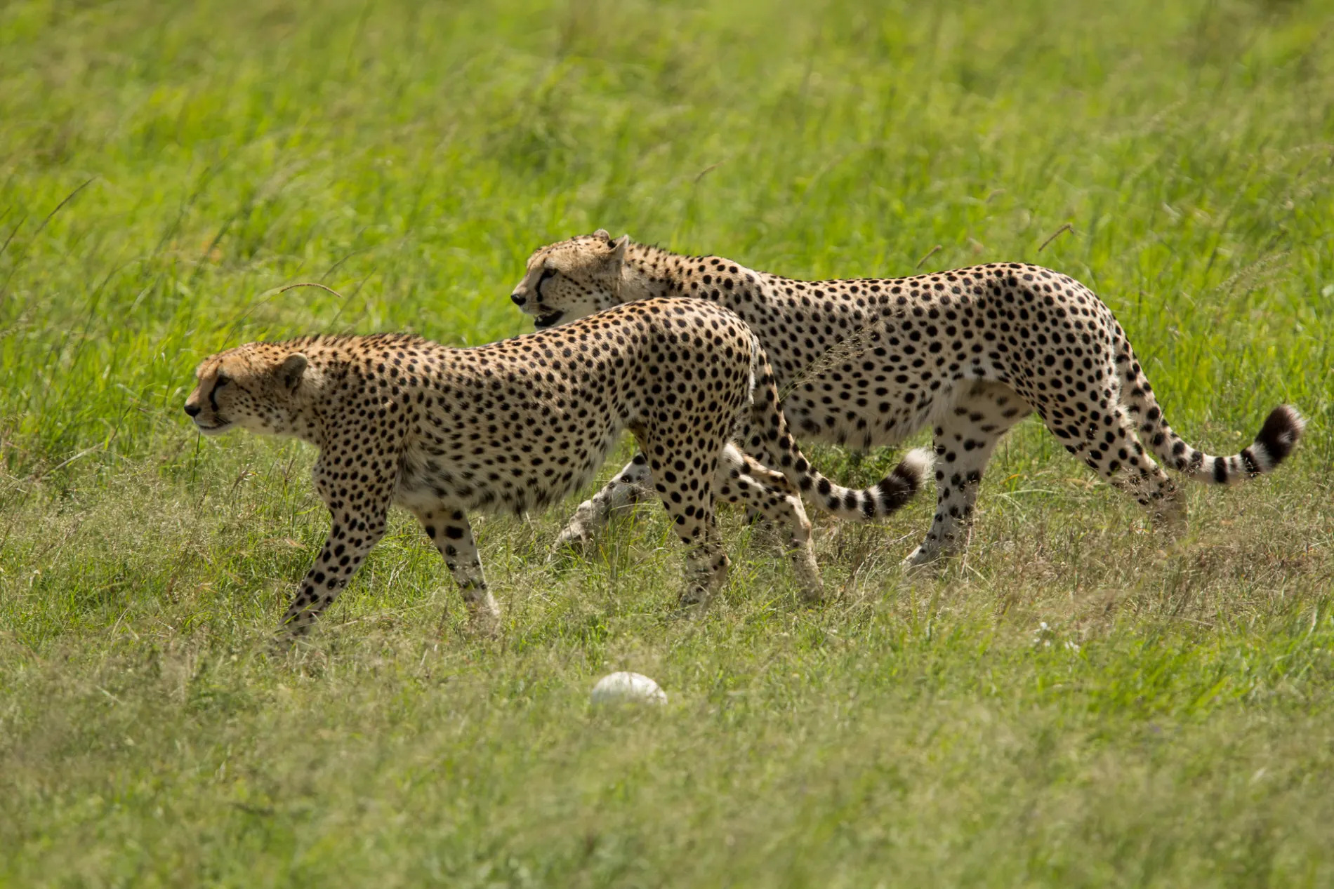 Cheetahs walking