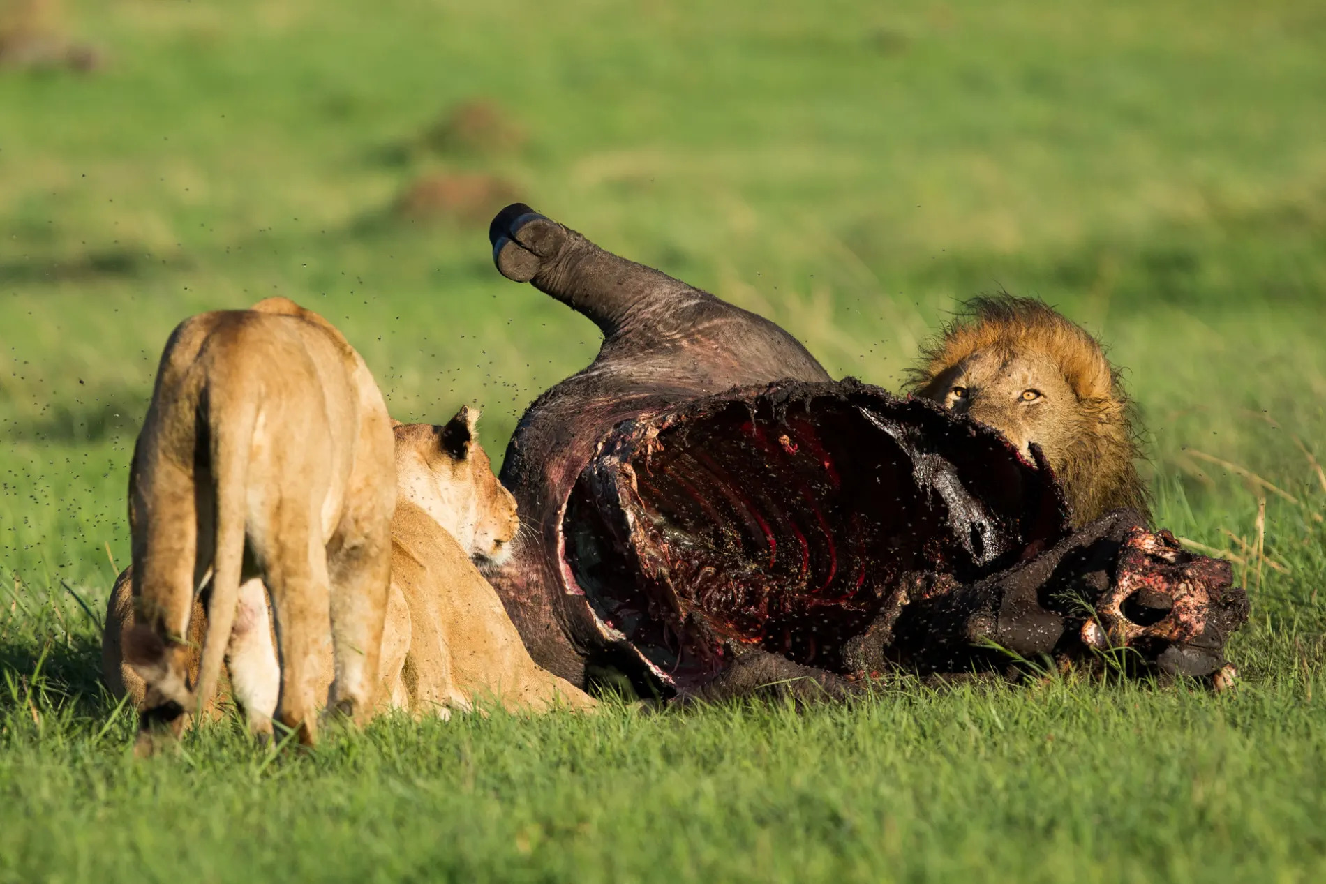 Female Lion trying to feed