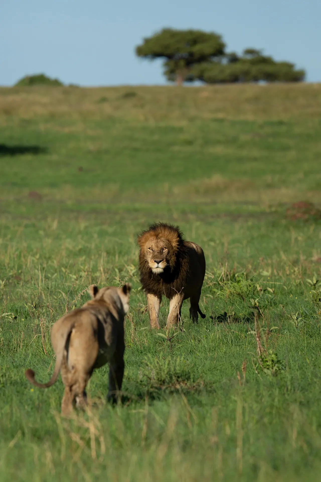 Male and lioness