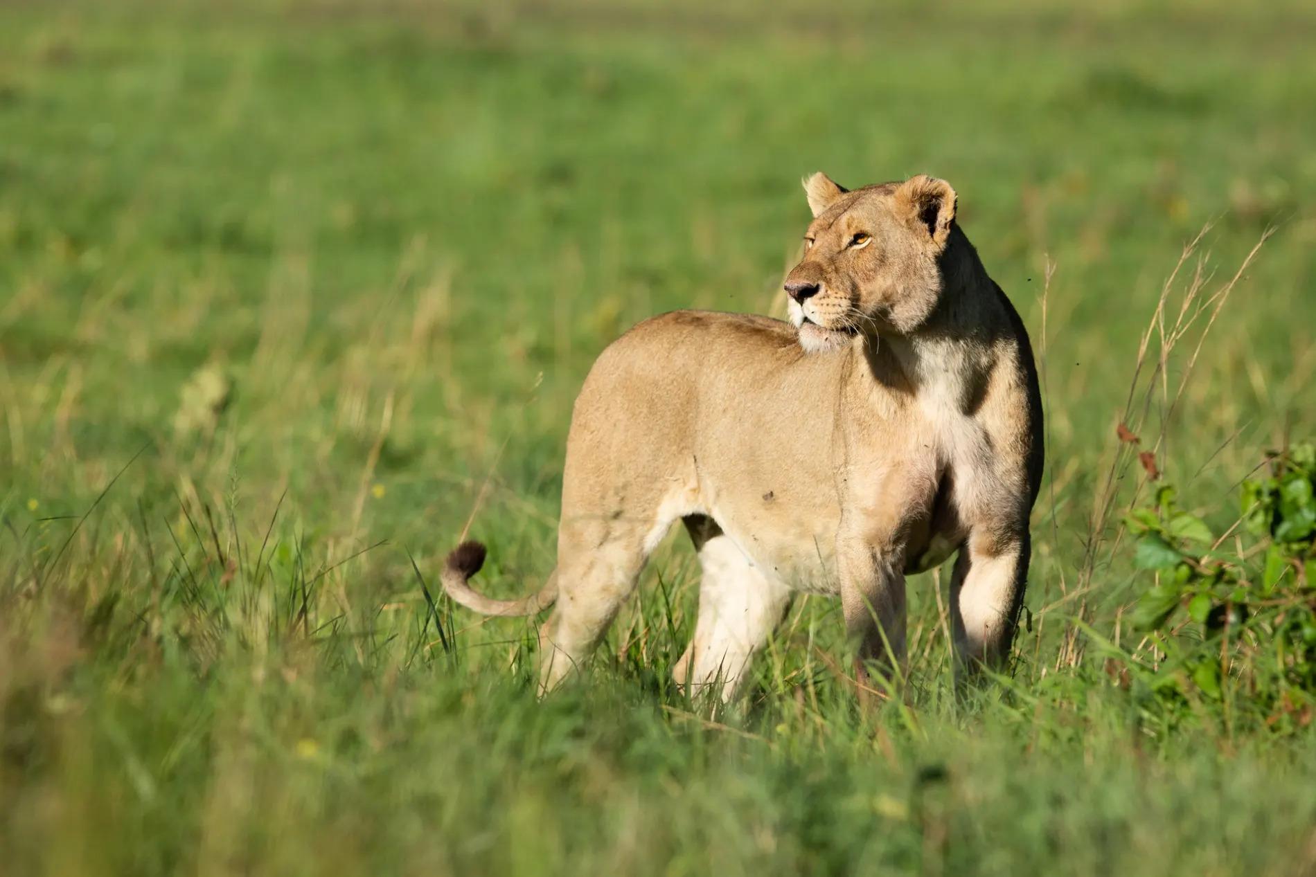 Lioness side