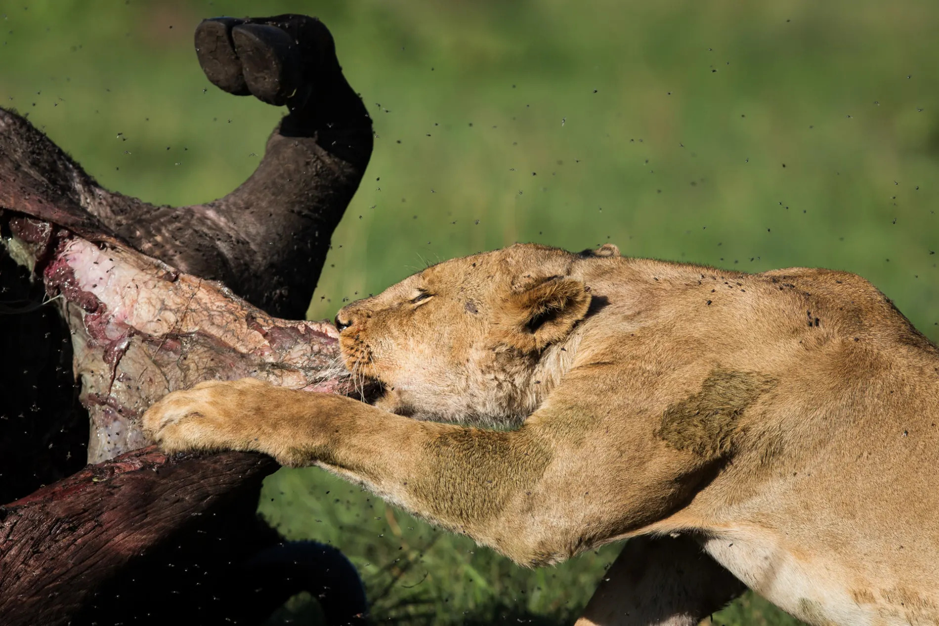 Lioness feeding