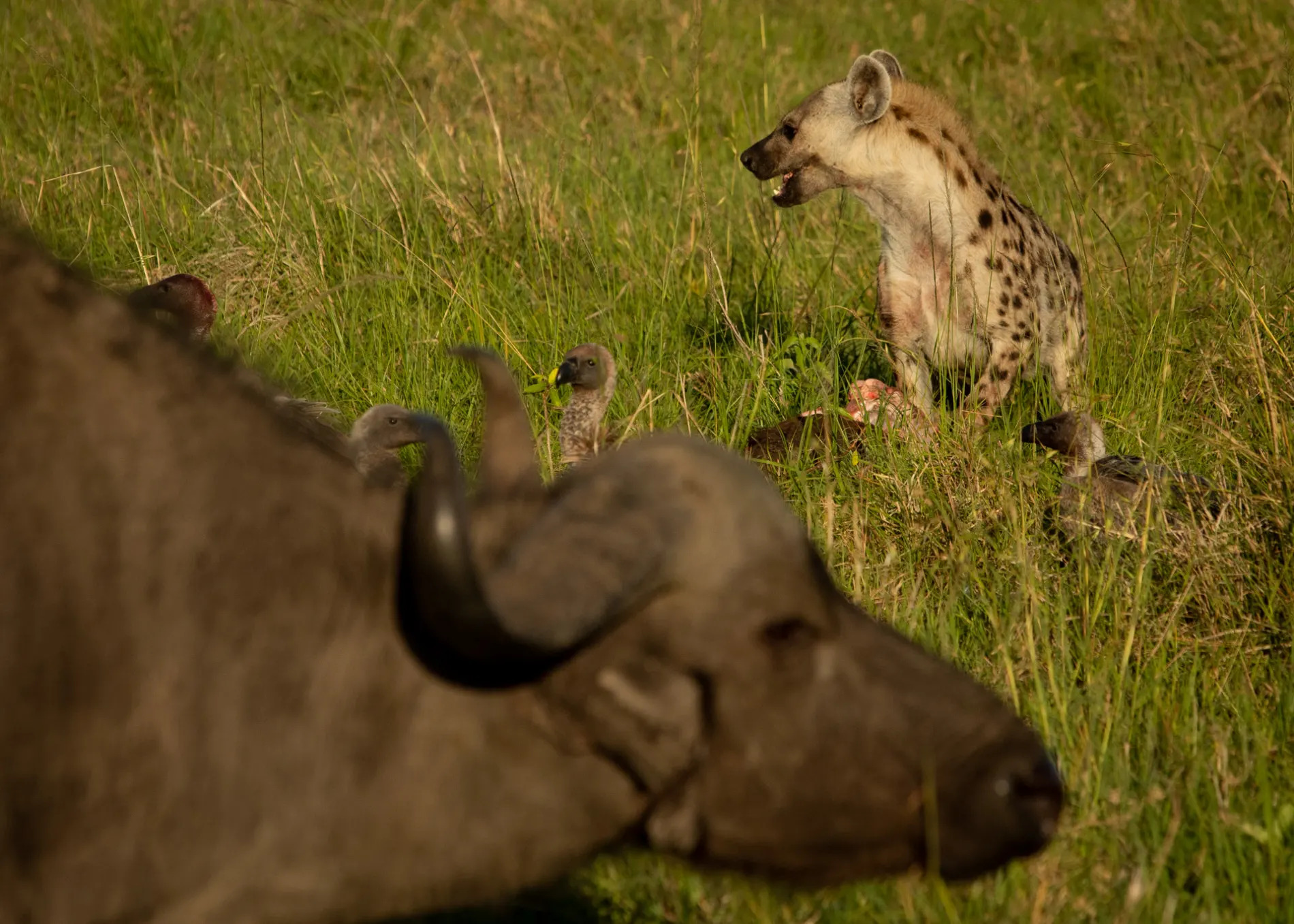 Buffalo and hyena