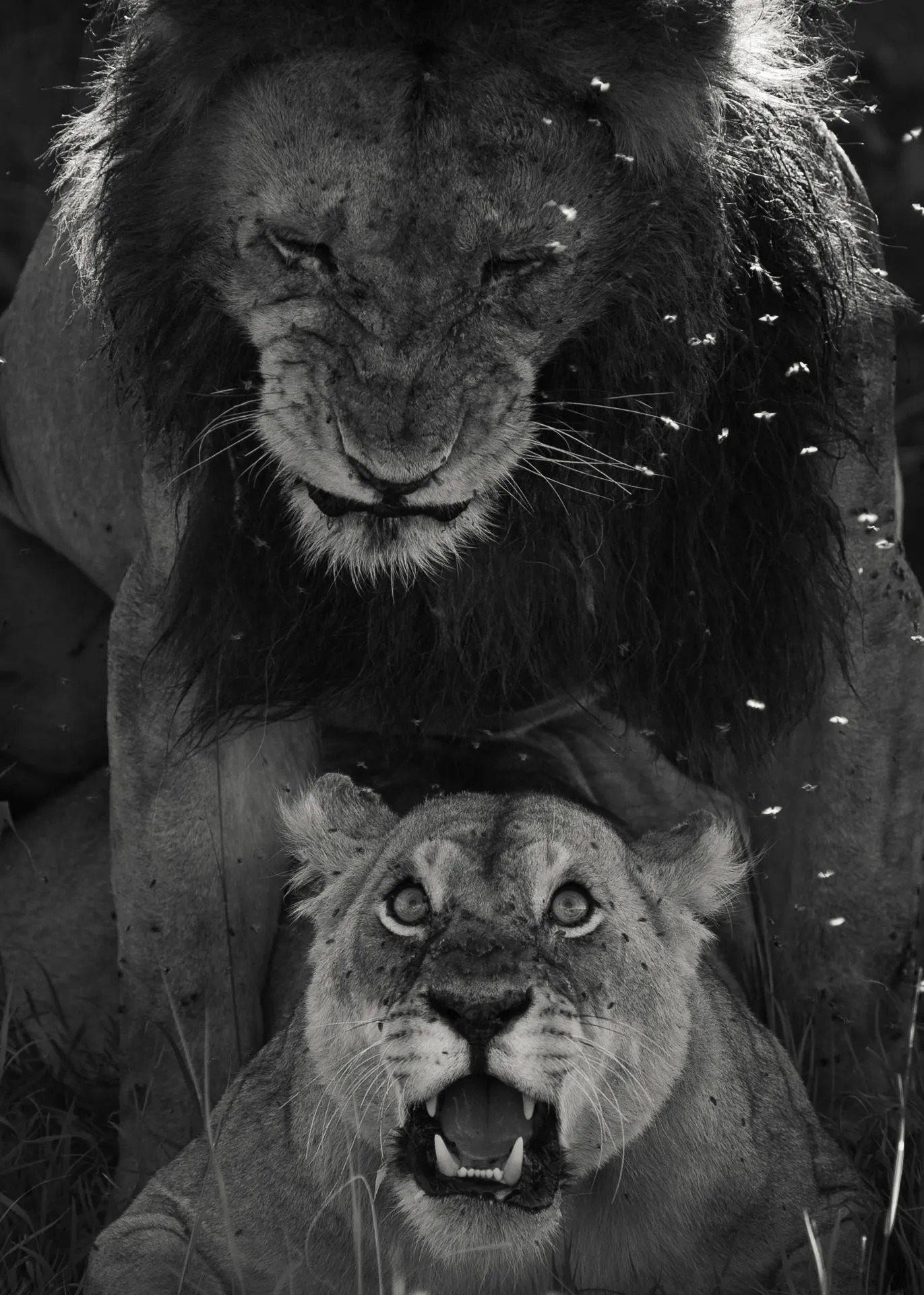 Lions mating B&W