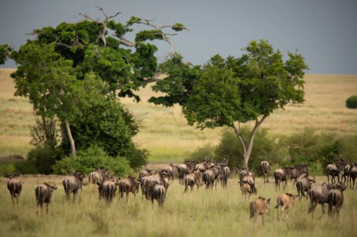 Pioneers of the 2019 wildebeest migration