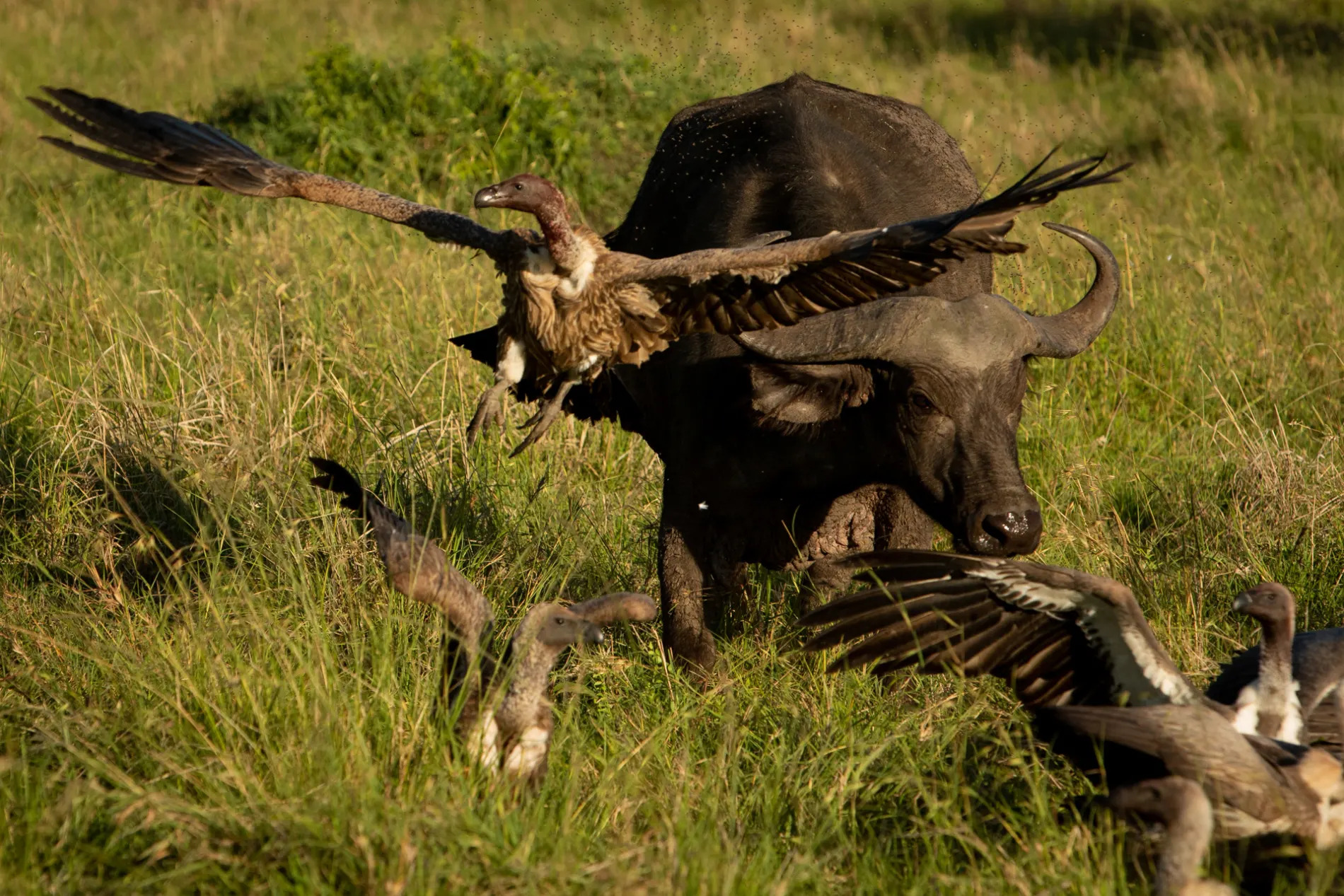 Buffalo and vultures 5