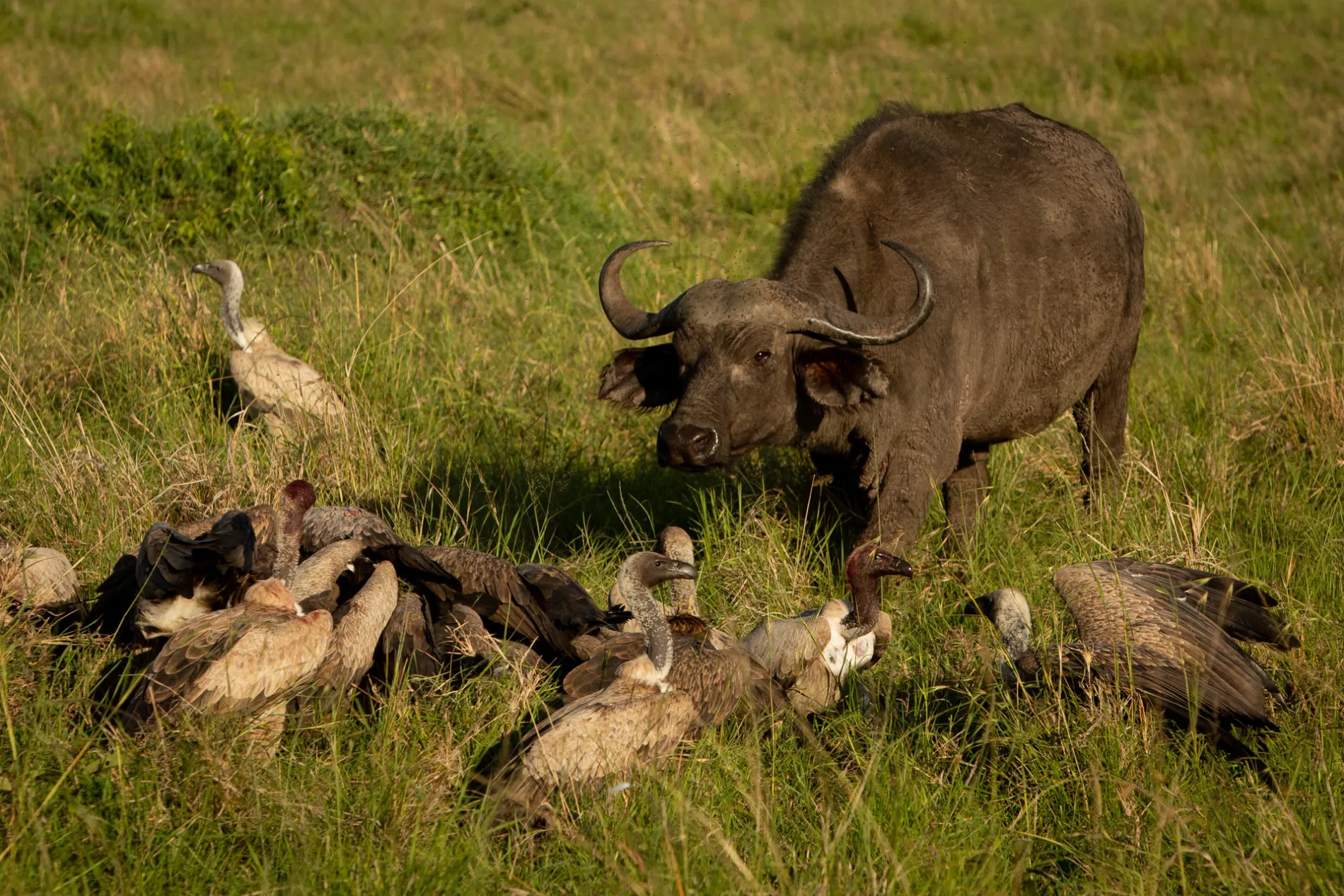Buffalo and vultures 2