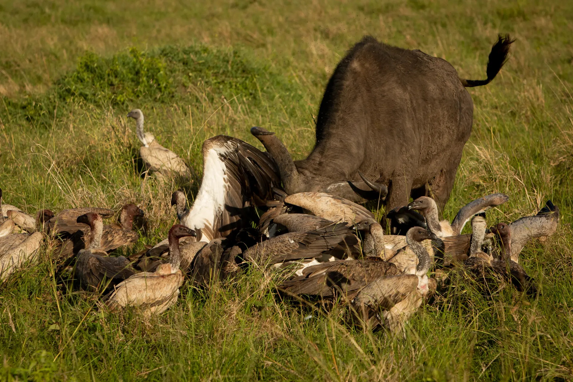 Buffalo and vultures 3