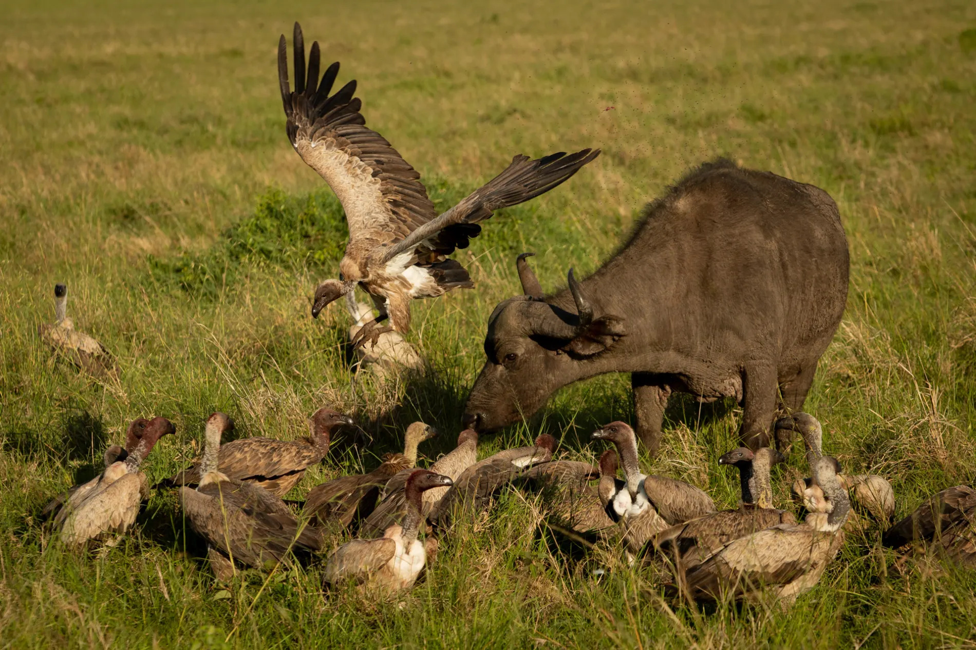Buffalo and vultures 4